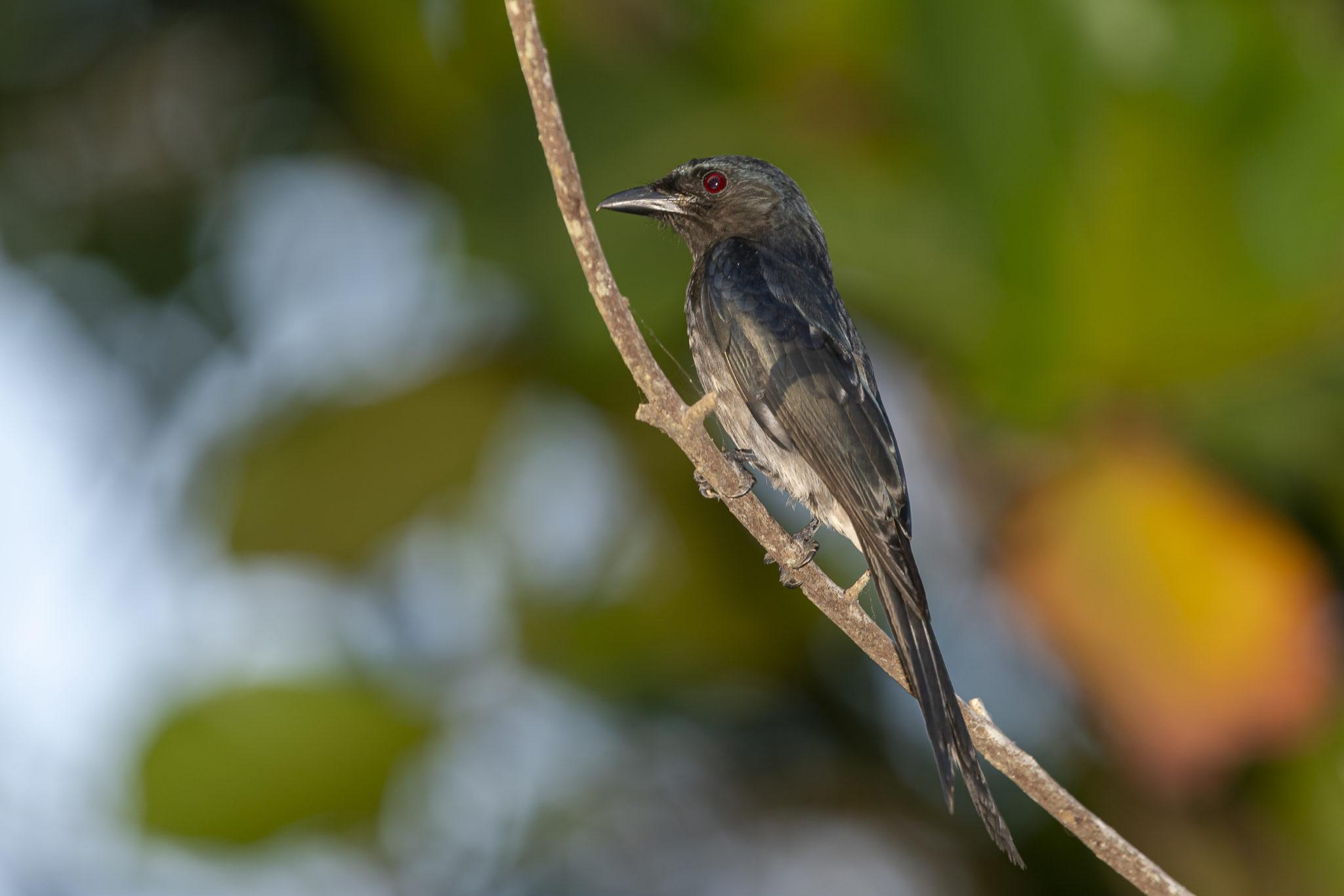Graubrustdrongo (Dicrurus caerulescens)