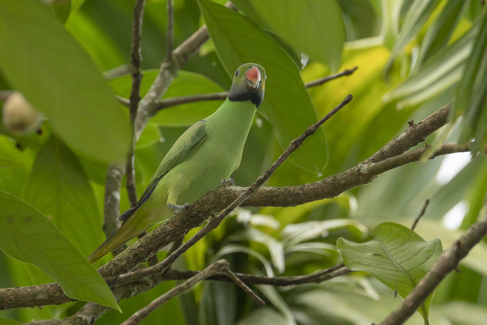 Blauschwanzedelsittich (Psittacula calthropae, Syn.: Psittacula calthrapae), endemische Art