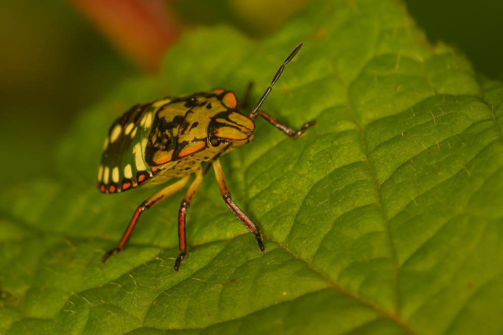 Käfer, Naturfotografie Olaf & Sylvia Rentzsch