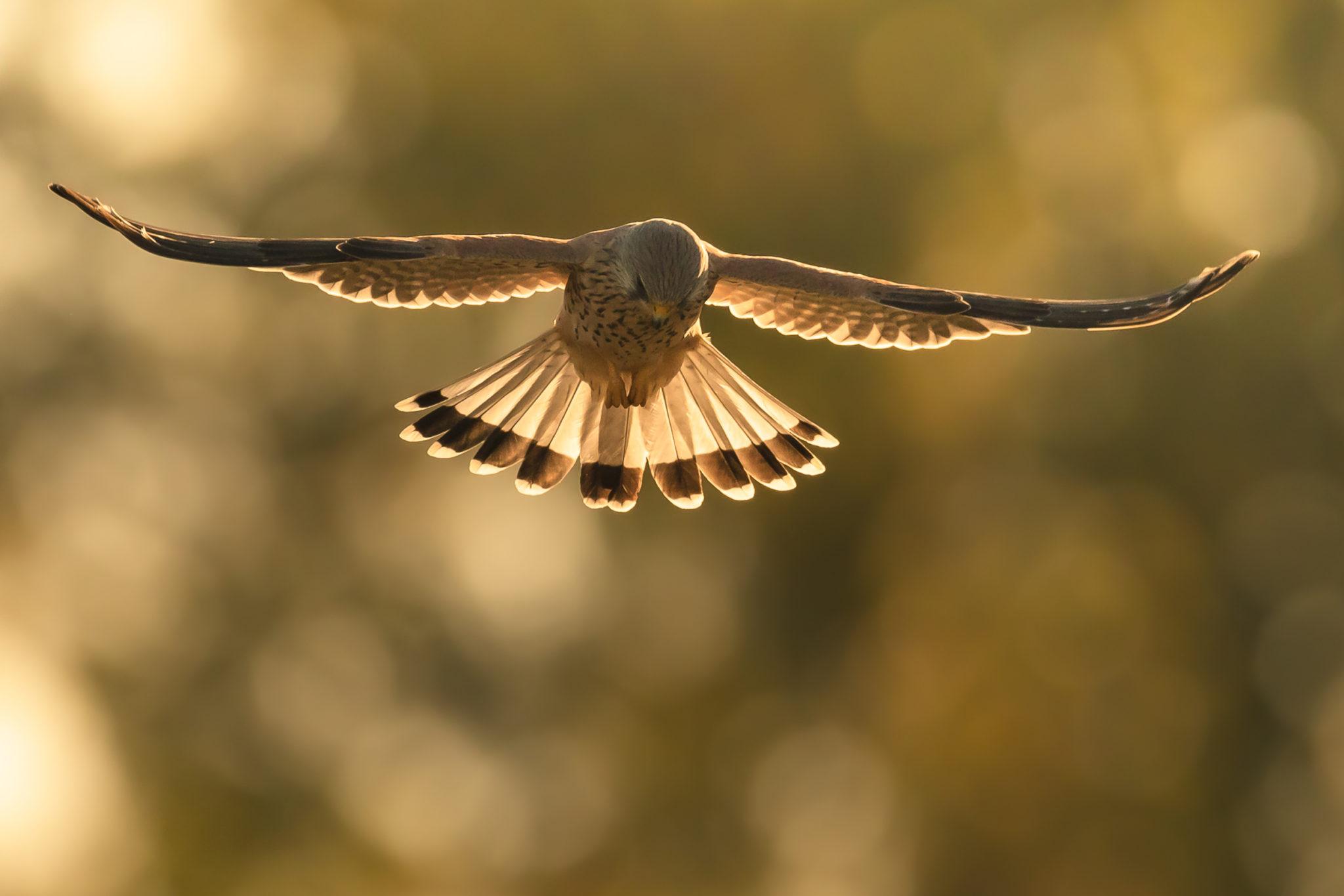 Turmfalke (Falco tinnunculus) im Gegenlicht
