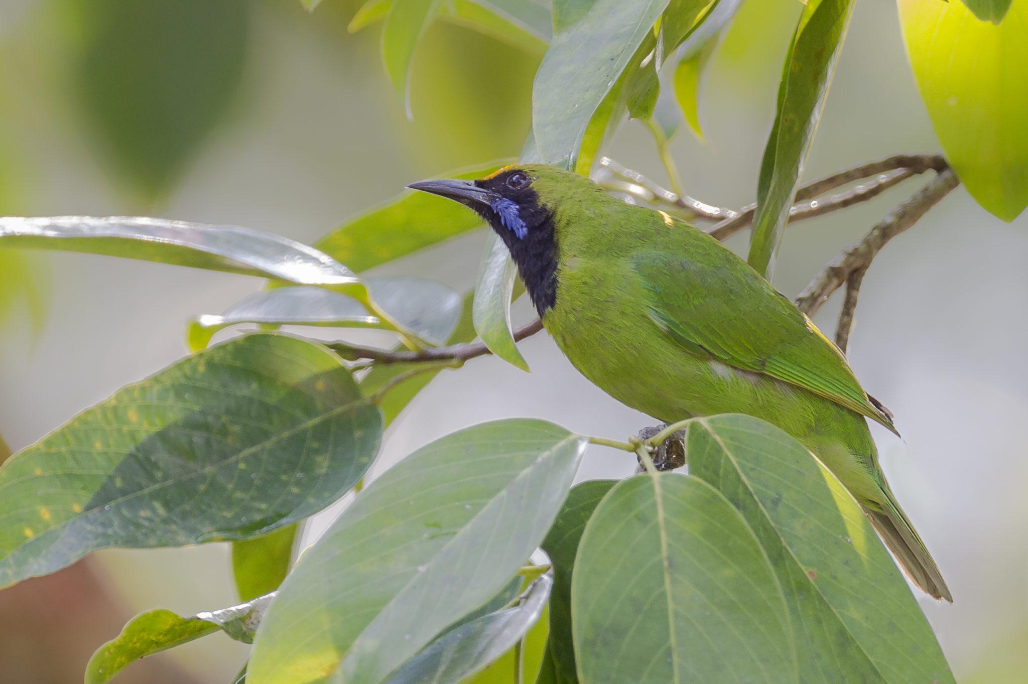 Golden-fronted Leafbird ( Chloropsis aurifrons ), endemische Art