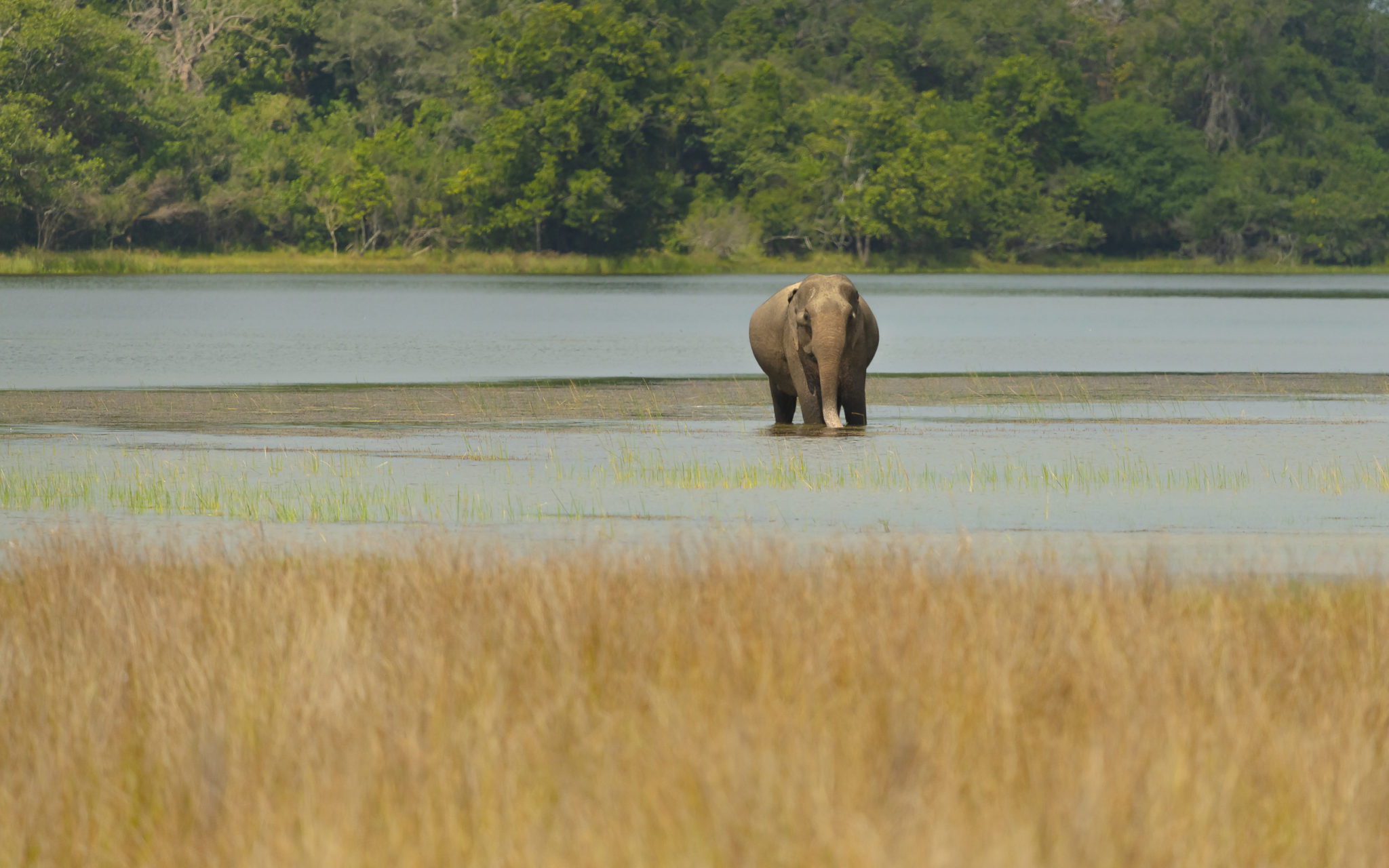 Asiatische Elefantenkuh (Elephas maximus)