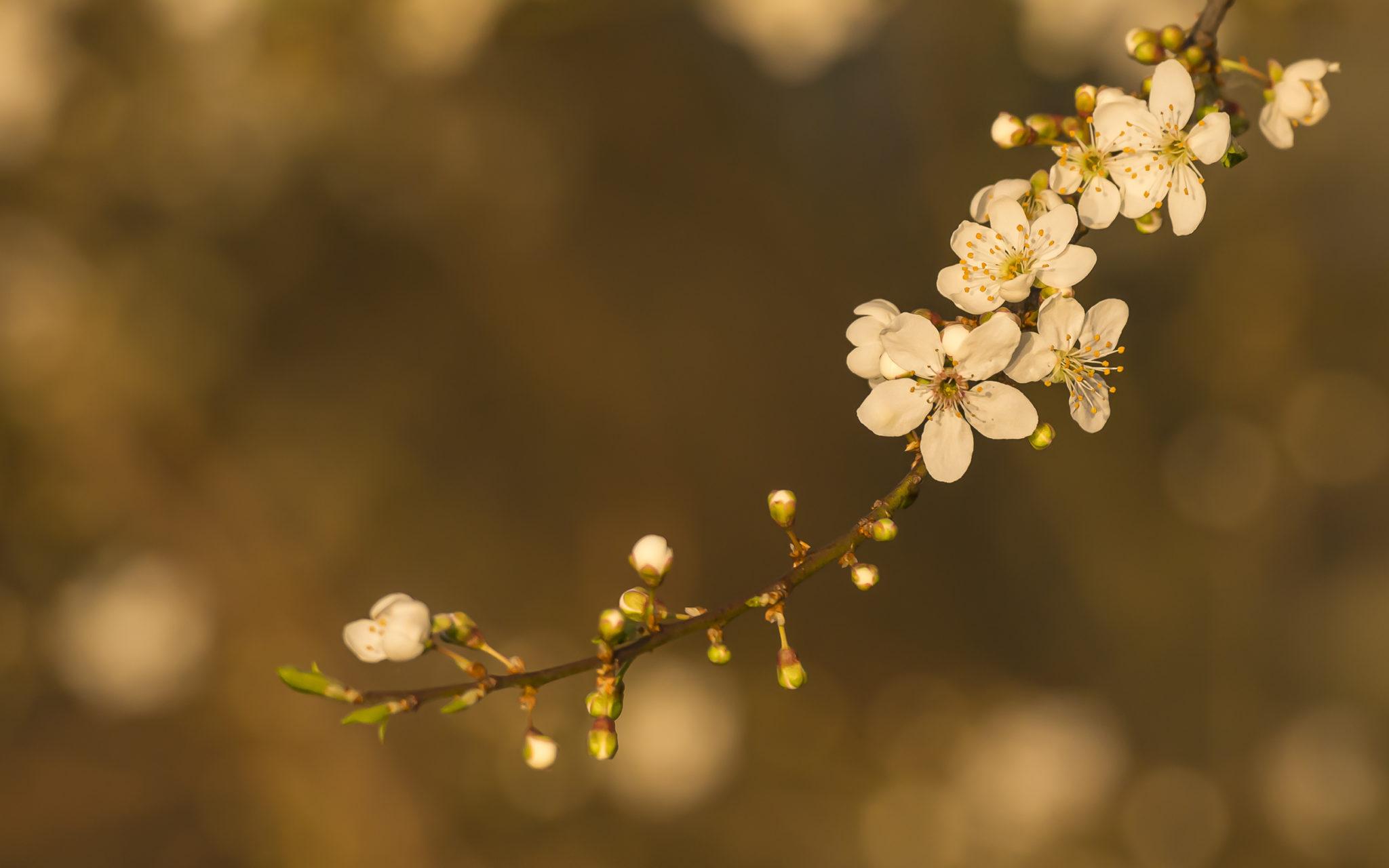 Naturfotografie Olaf & Sylvia Rentzsch, blüte, Frühling