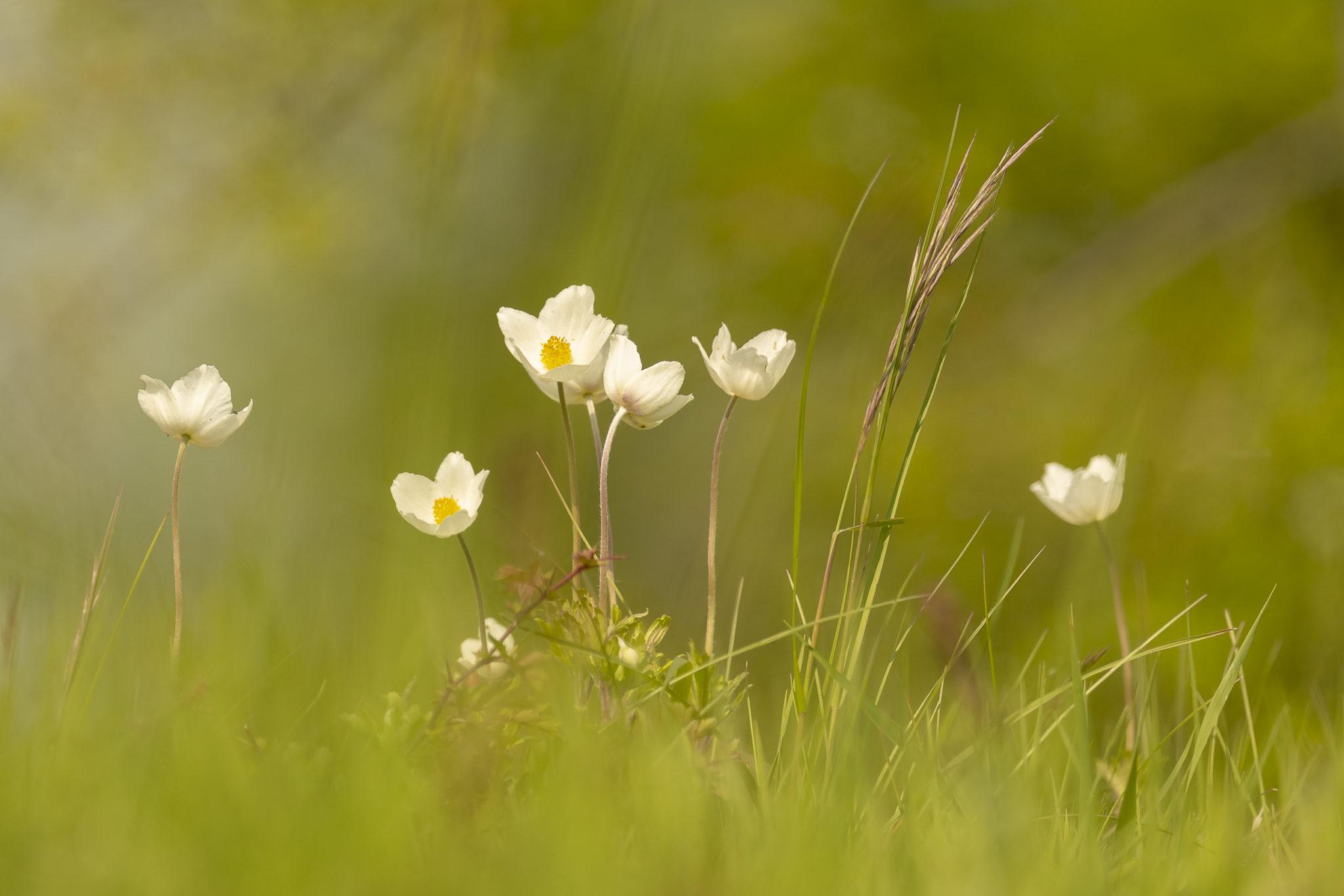 Großes Windröschen (Anemone sylvestris)