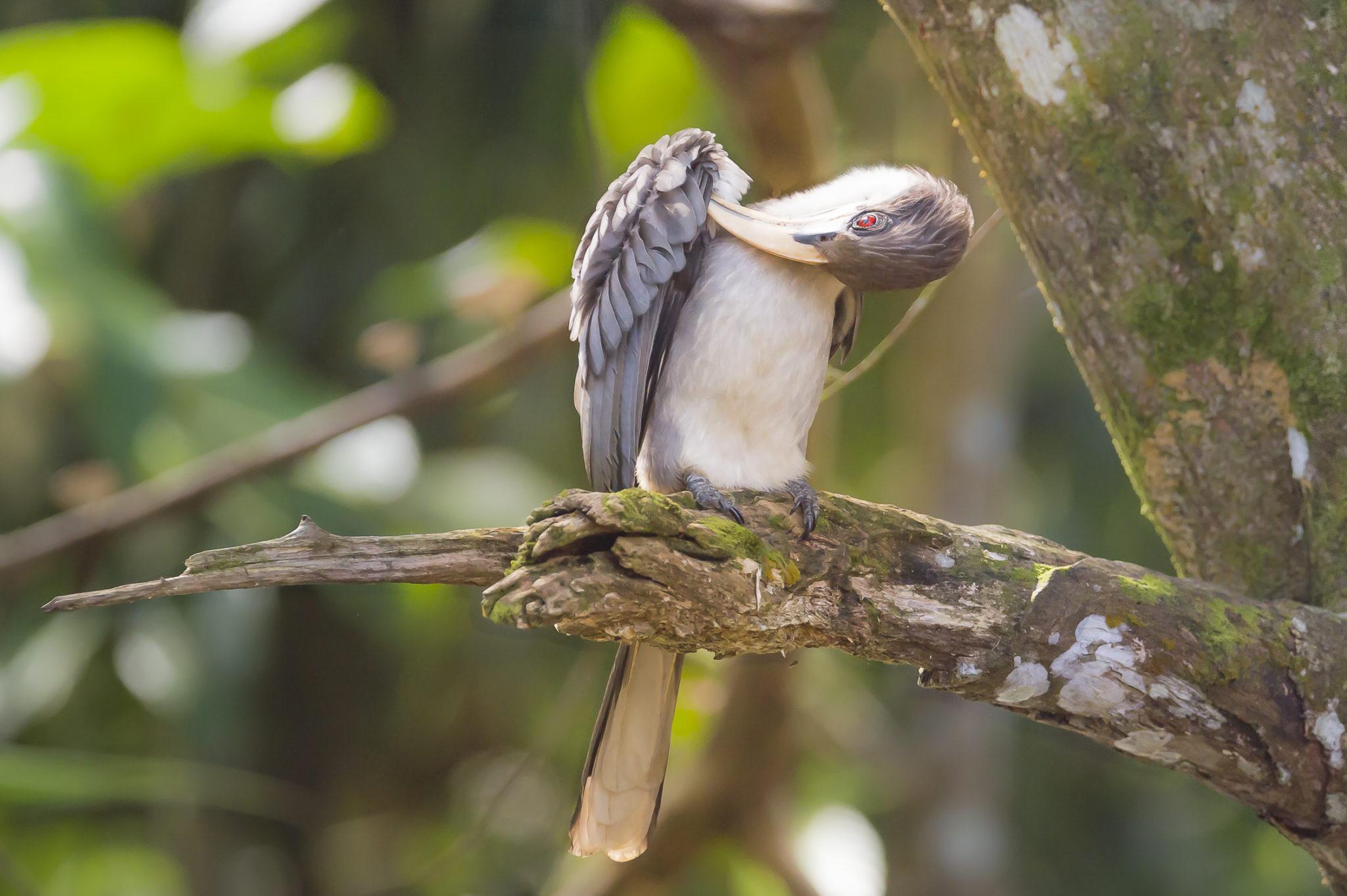 Ceylontoko (Sri Lanka Grey Hornbill, Ocyceros gingalensis), endemische Art