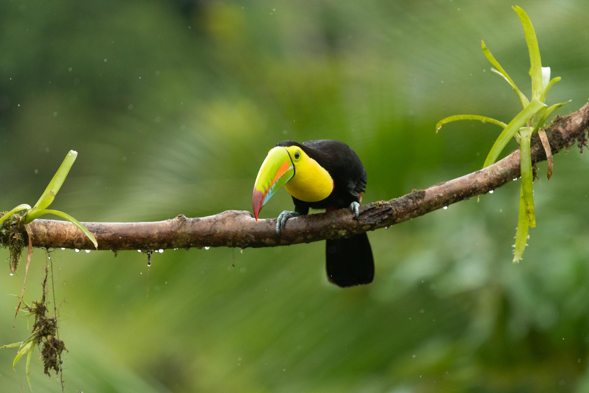 Fischertukan oder Regenbogentukan (Ramphastos sulfuratus)
