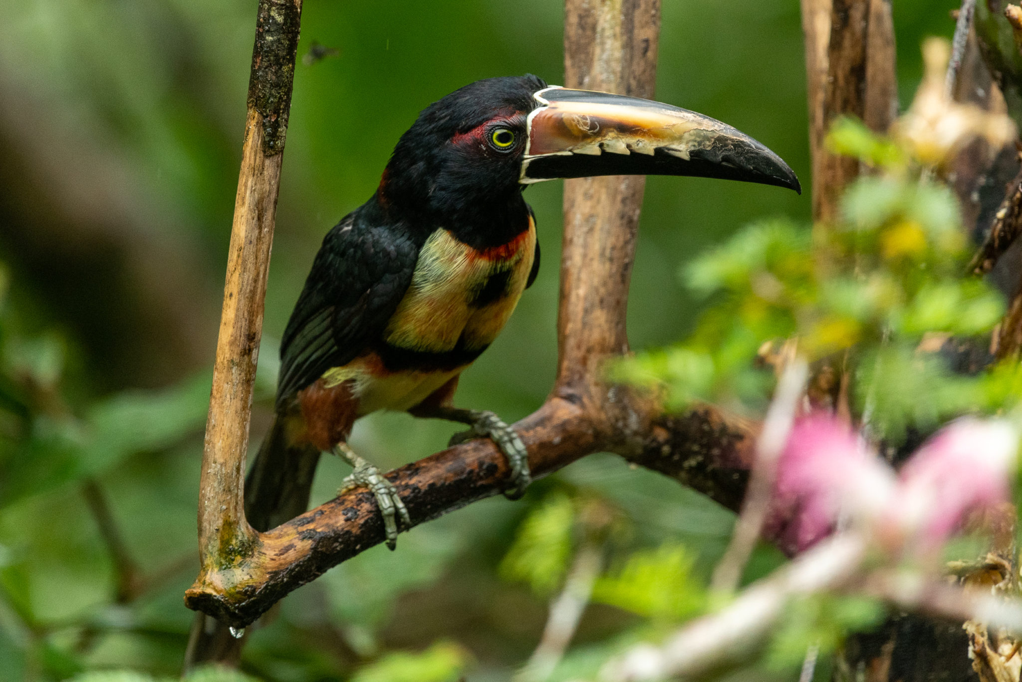 Halsbandarassari (Pteroglossus torquatus)