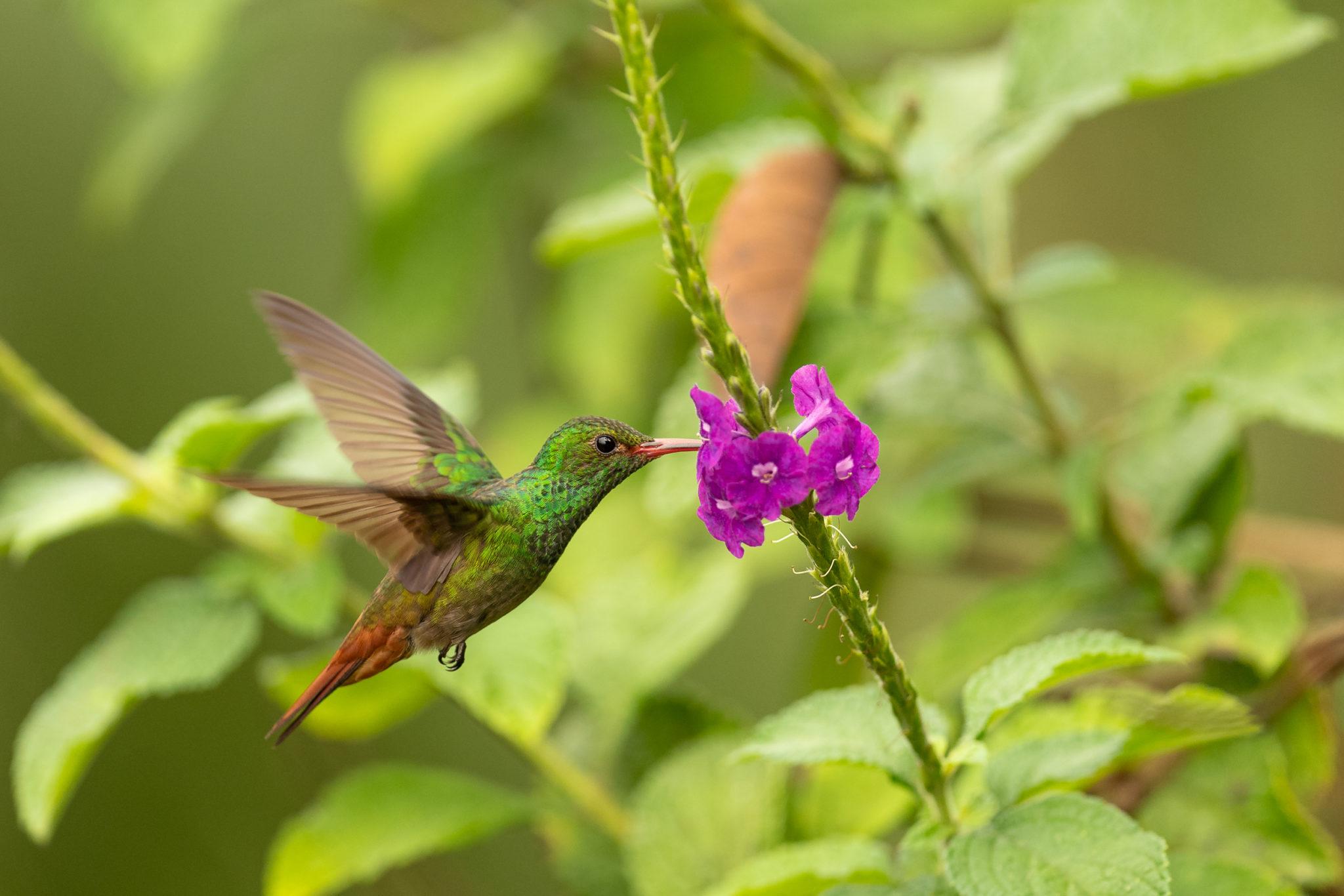Braunschwanzamazilie oder Rotschwanzkolibri (Amazilia tzacatl)