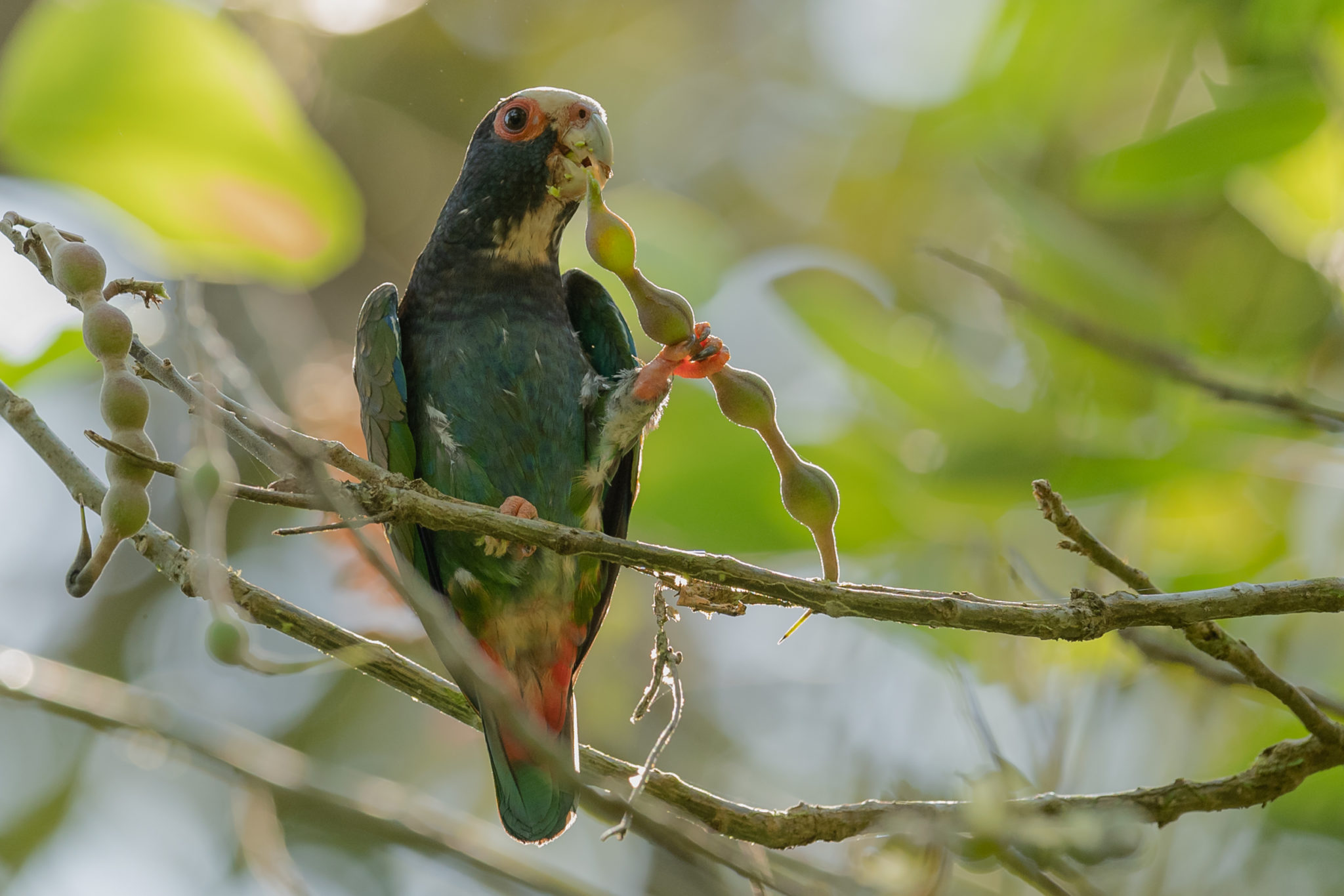 Weißkopfpapagei (Pionus senilis)