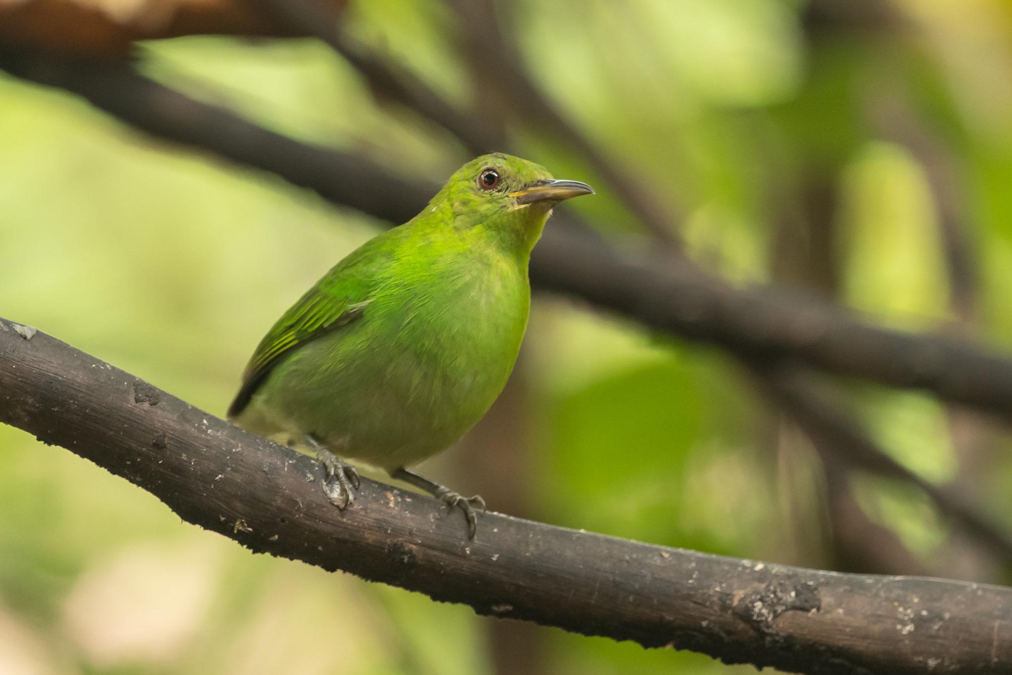 Green Honeycreeper ♀ (Chlorophanes spiza)