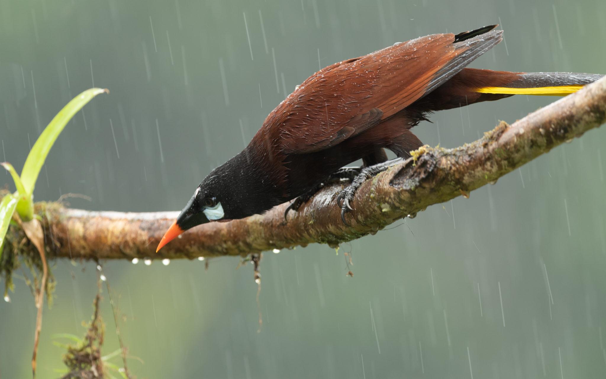 Montezumastirnvogel (Psarocolius montezuma)