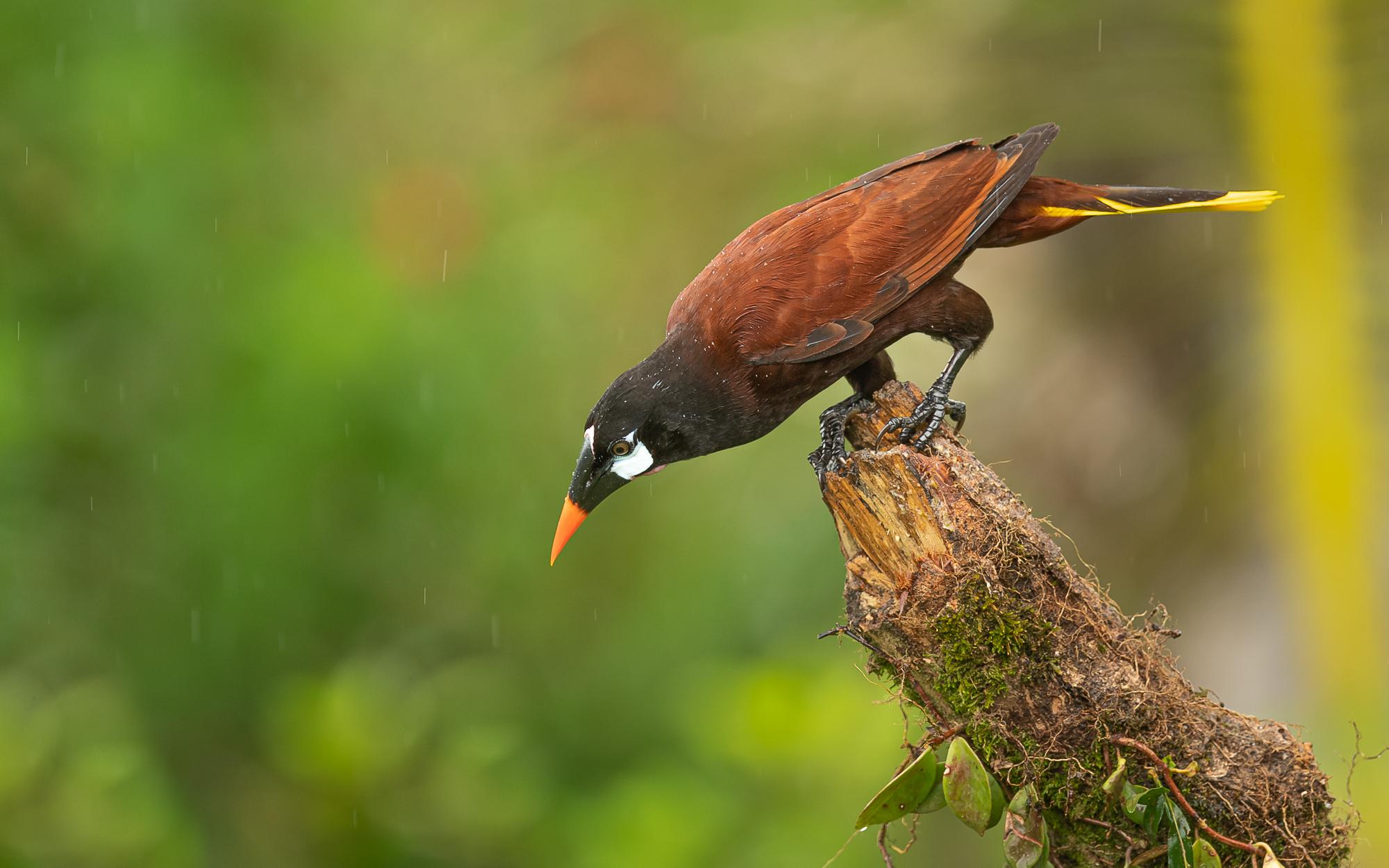 Montezumastirnvogel (Psarocolius montezuma) im Regenwald von costa Rica