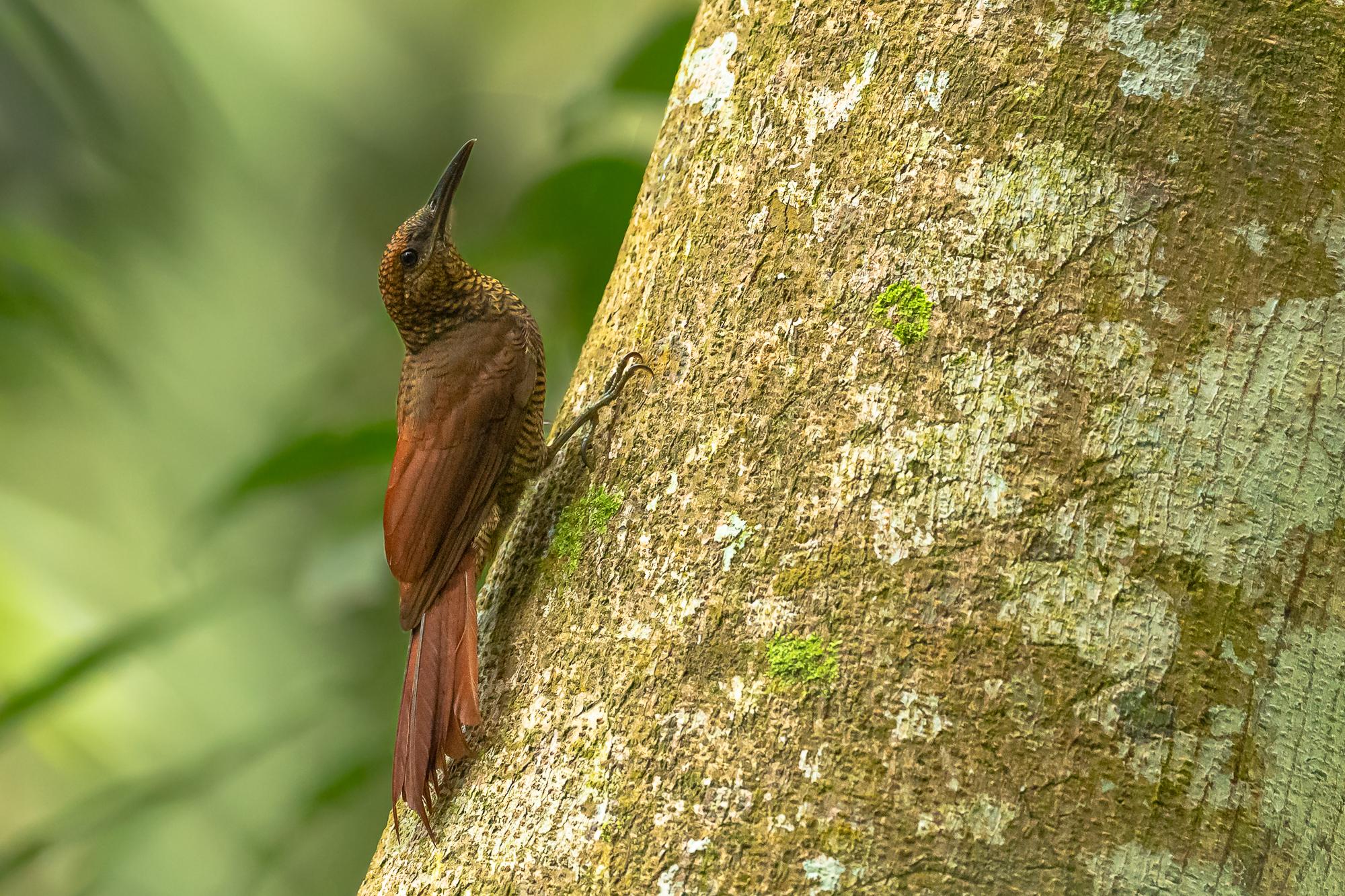 Nördlicher Bindenbaumsteiger oder barred woodcreeper(Dendrocolaptes sanctithomae) im Regenwald von Costa Rica