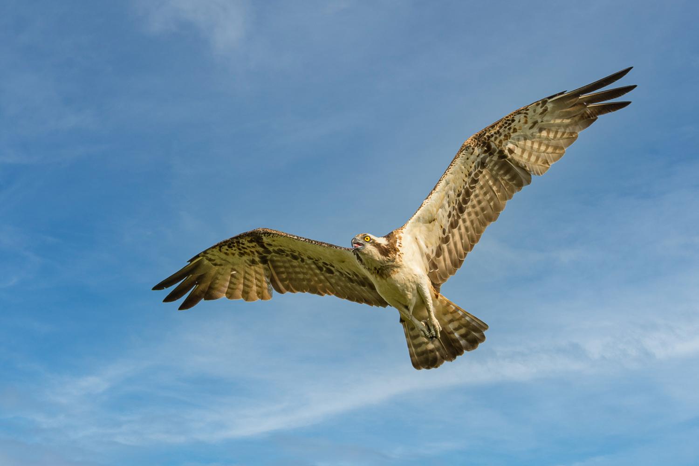 Fischadler (Pandion haliaetus) im Überflug