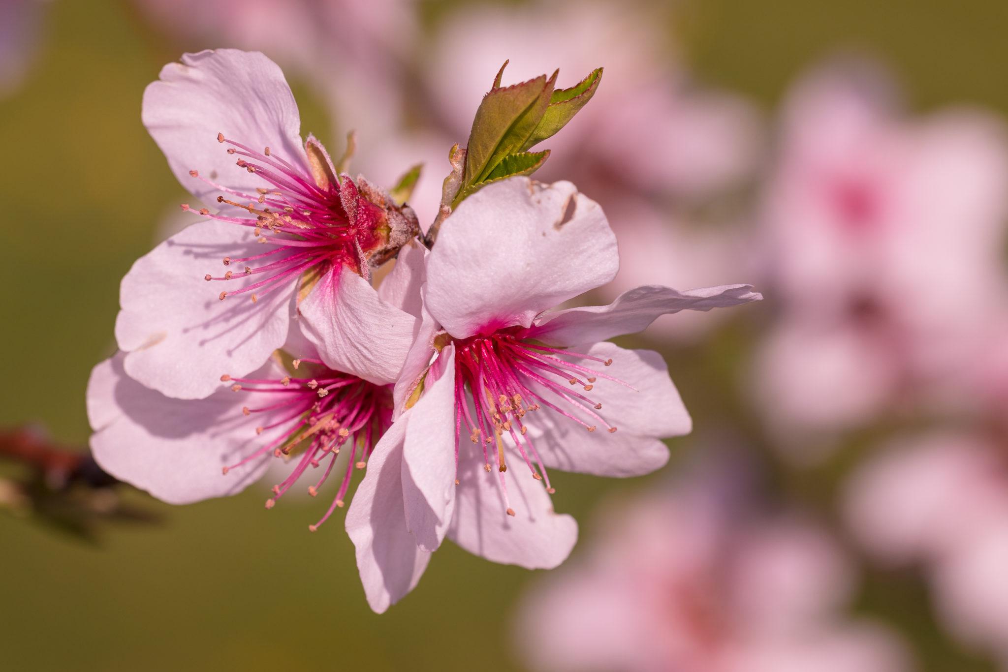 Mandelblüte in Rheinland-Pfalz,Prunus dulcis,Naturfotografie Olaf & Sylvia Rentzsch
