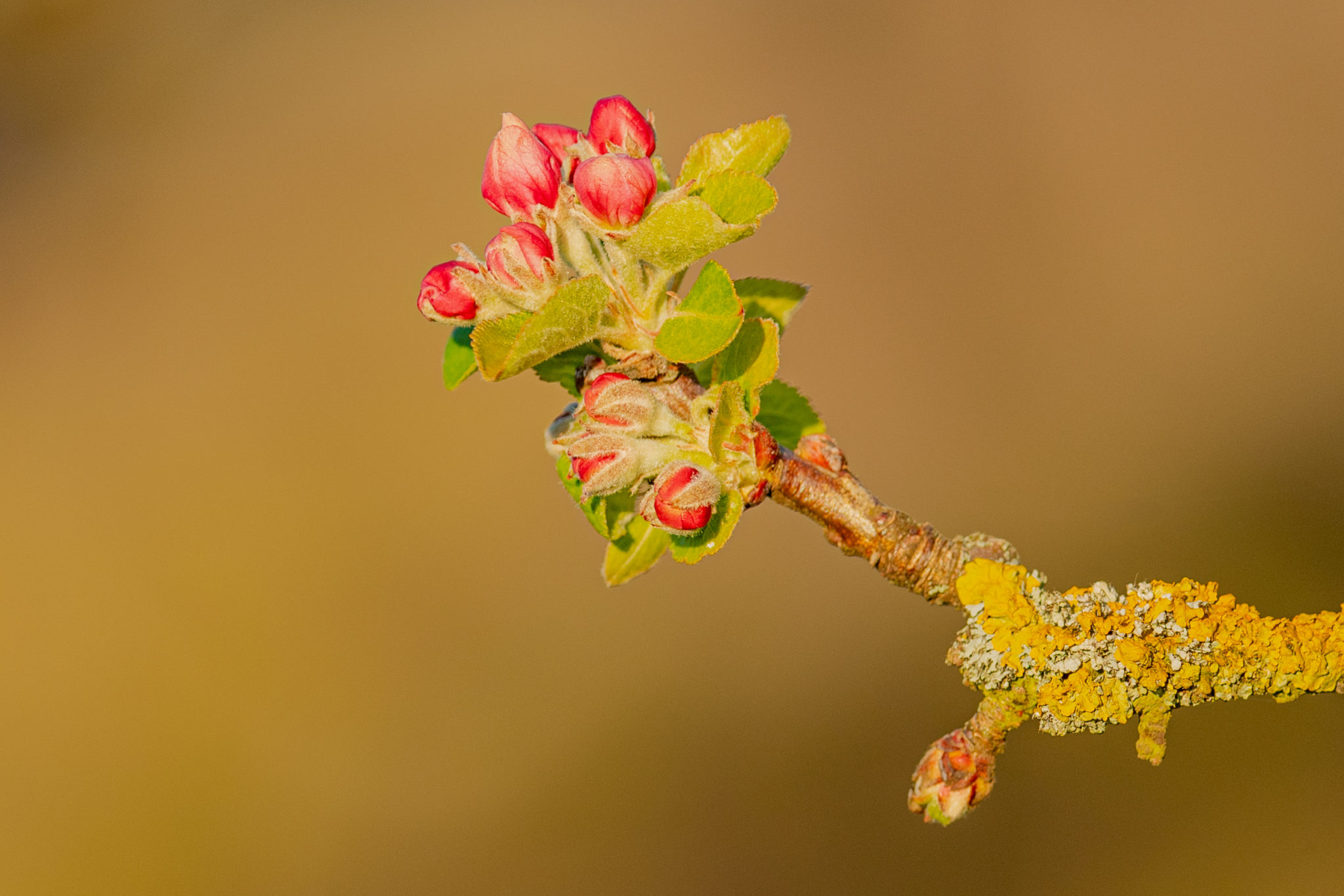 Naturfotografie Olaf & Sylvia Rentzsch, Apfel, Apfelblüte
