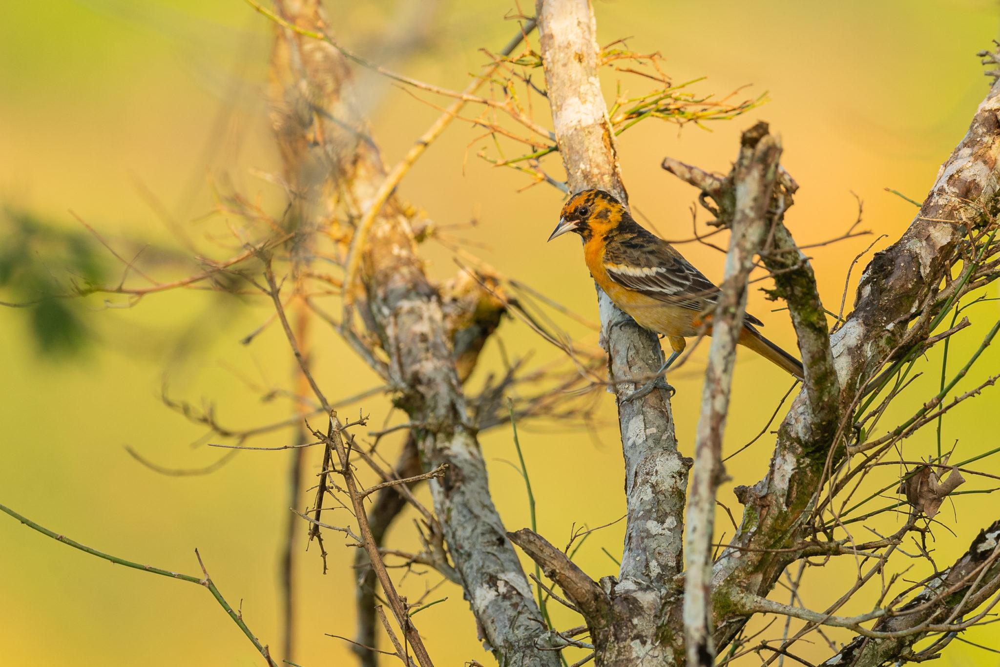 Juvenile männliche Baltimore-Oriole (Icterus galbula) oder Baltimoretrupial, Naturfotografie Olaf & Sylvia Rentzsch