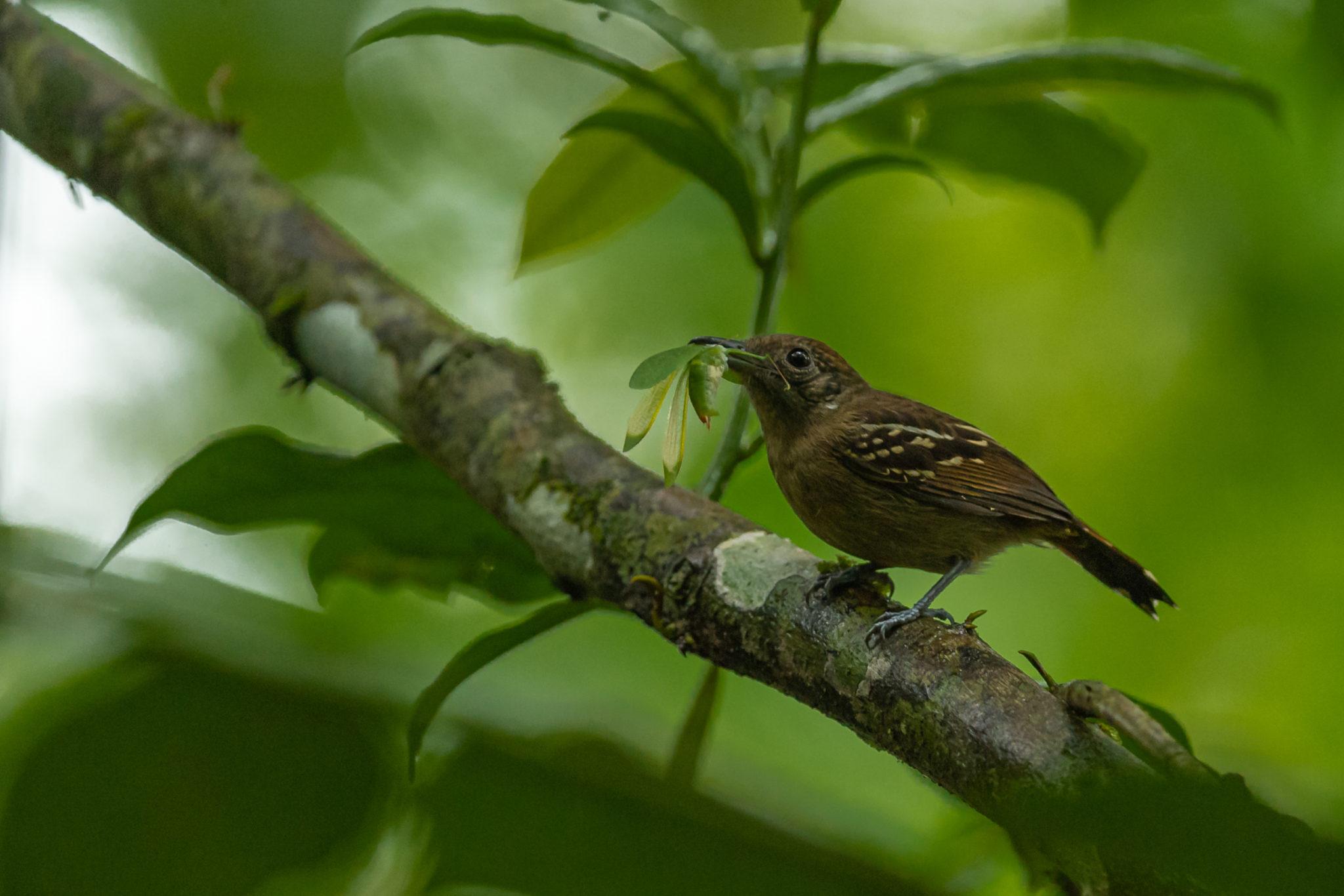 weiblicher,Westlicher Tropfenameisenwürger ♀ (Thamnophilus atrinucha), Naturfotografie olaf & Sylvia Rentzsch