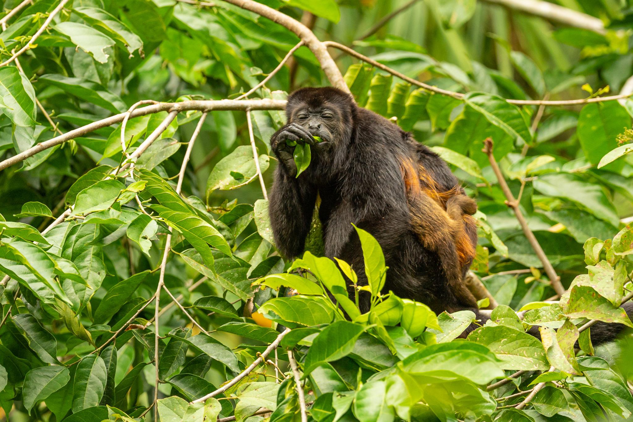 Brüllafenmutti (Alouatta) mit Baby beim Fressen im Regenwald von Costa Rica, Naturfotografie Olaf & Sylvia Rentzsch