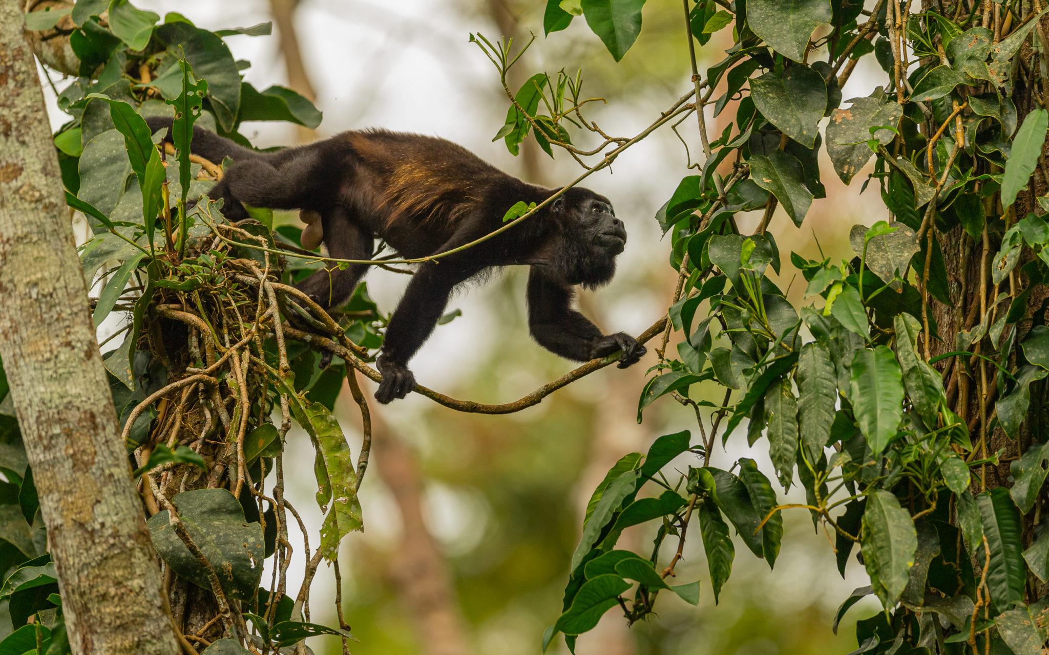 männlicher Brüllaffe (Alouatta) unterwegs im Regenwald von Costa Rica, Naturfotografie Olaf & Sylvia Rentzsch