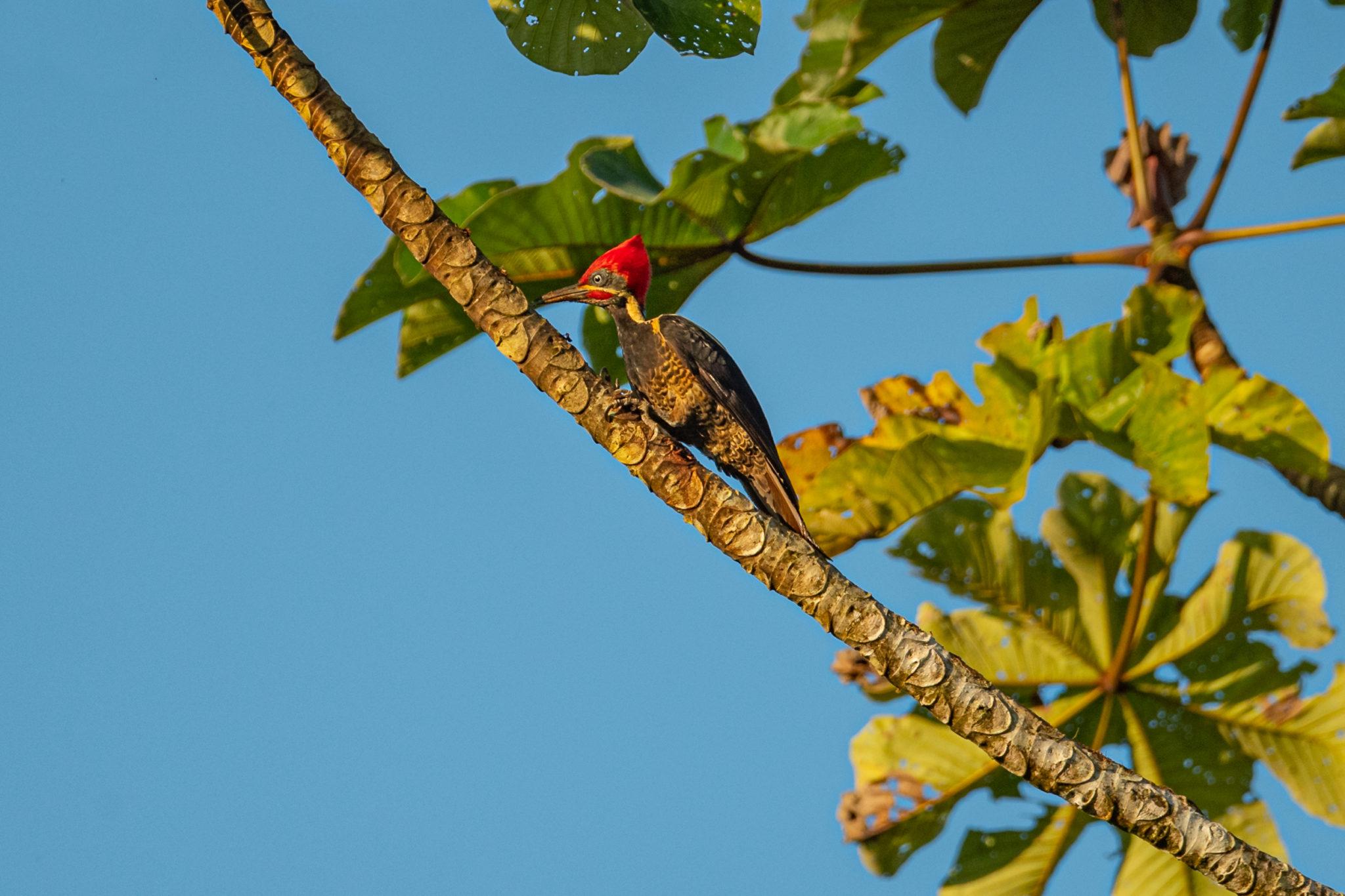 Linienspecht männlich (Dryocopus lineatus) am Rio San Carlos, Naturfotografie Olaf & Sylvia Rentzsch