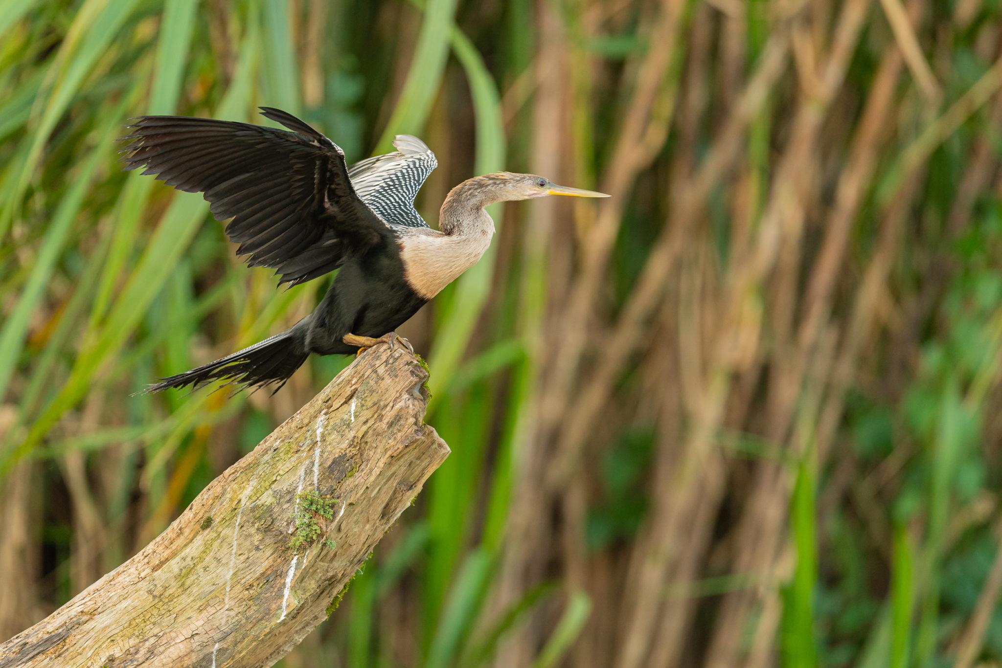 Schlangenhalsvogel (Anhinga, anhinga) am Rio San Carlos, Naturfotografie Olaf & Sylvia Rentzsch