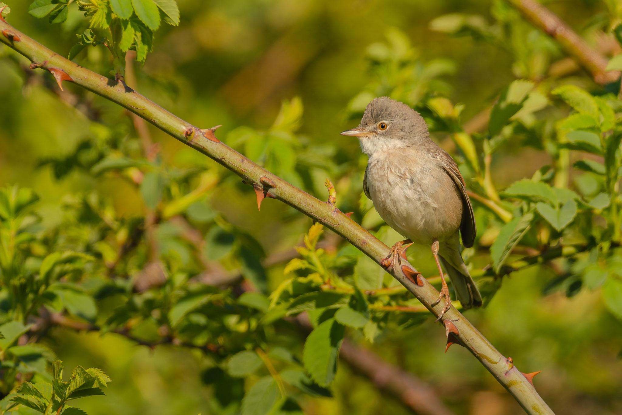 Dorngrasmücke (Sylvia communis), Naturfotografie Olaf & Sylvia Rentzsch