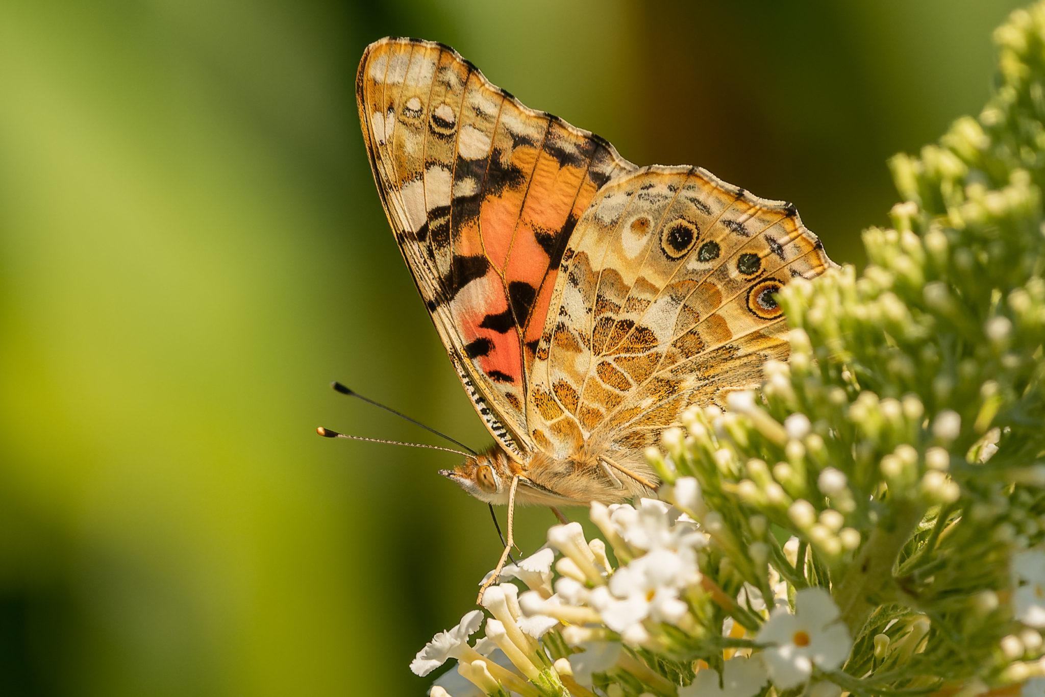 Distelfalter (Vanessa cardui), Naturfotografie Sylvia & Olaf Rentzsch