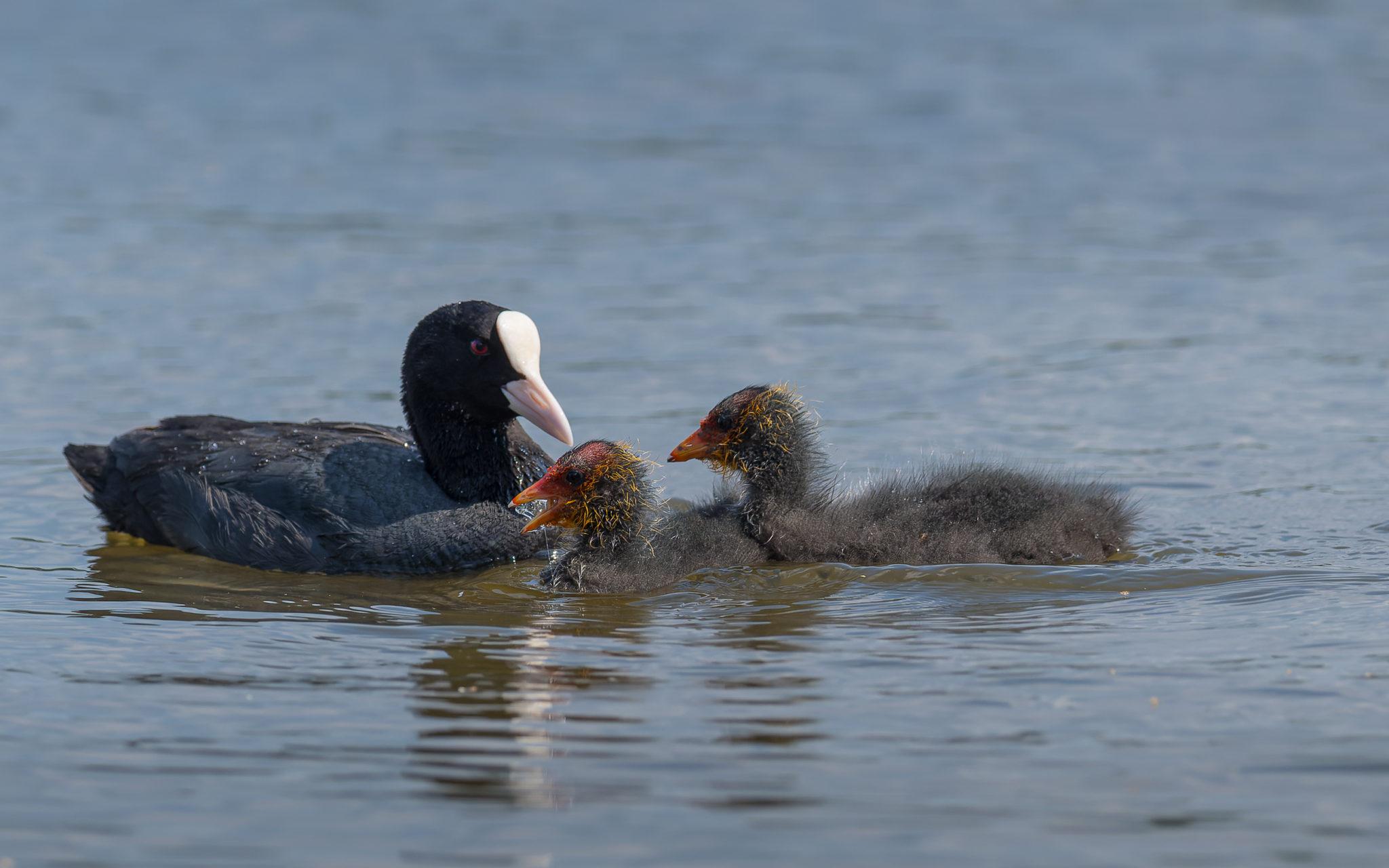 Blässhuhn (Fulica atra) mit Jungtieren, Naturfotografie Olaf & Sylvia Rentzsch