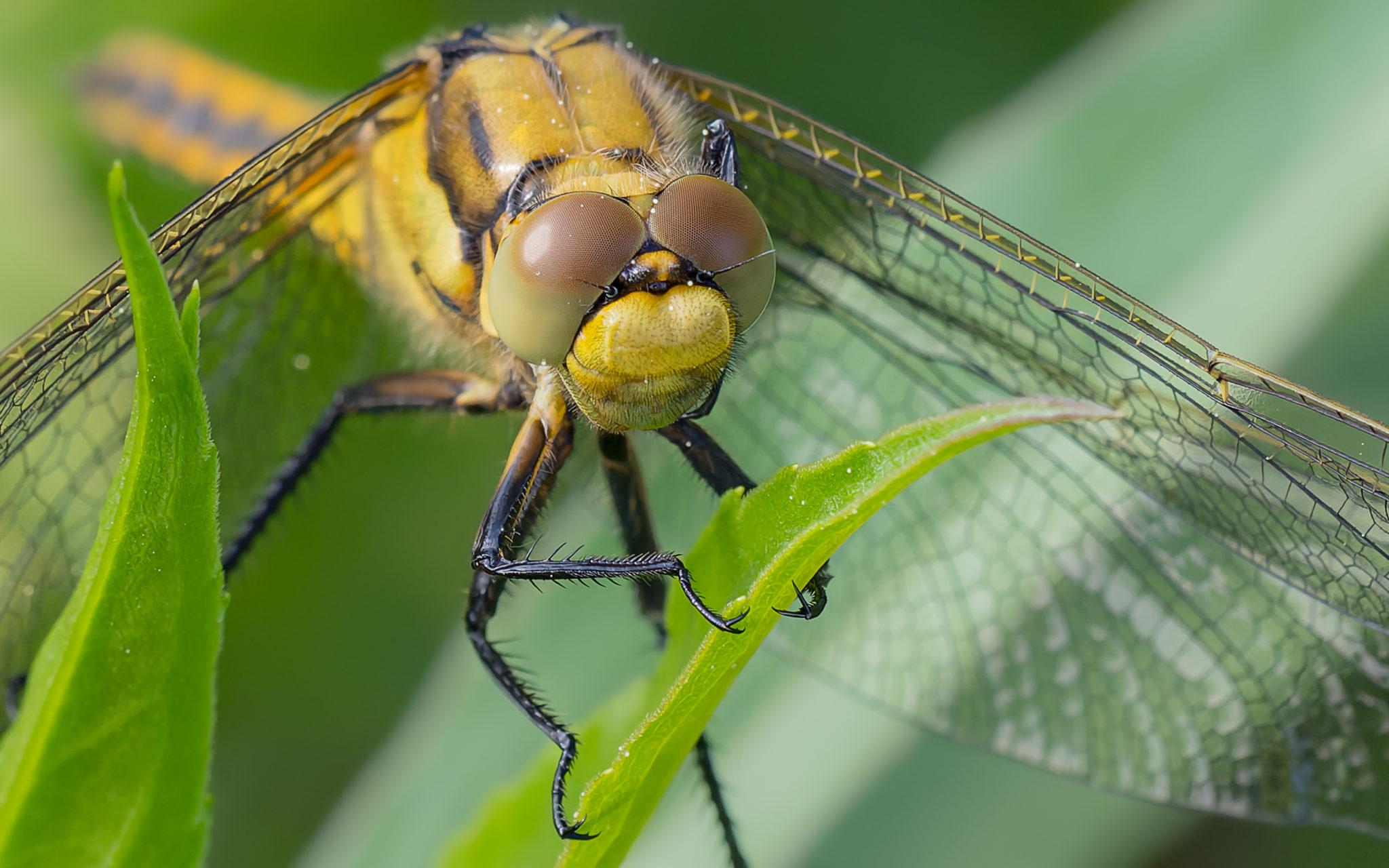 Libellenporträt, Naturfotografie Olaf & Sylvia Rentzsch