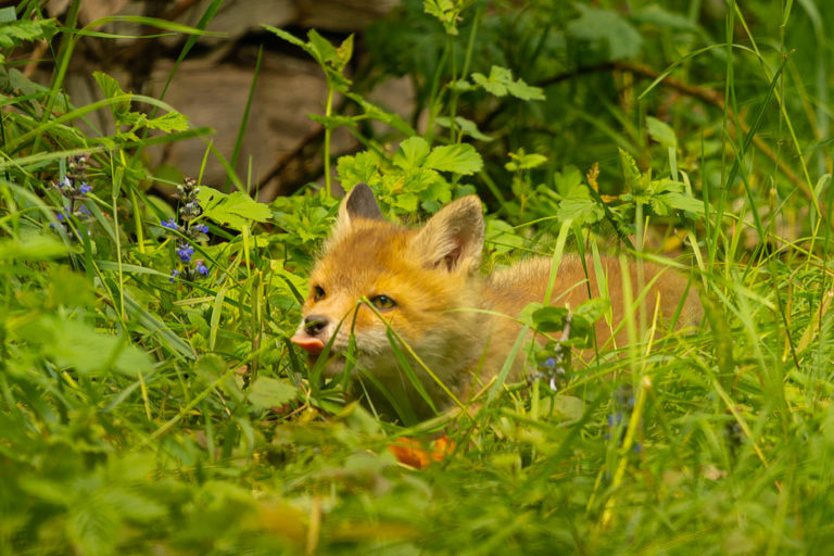 junger Fuchs (vulpes vulpes), Naturfotografie Olaf & Sylvia Rentzsch
