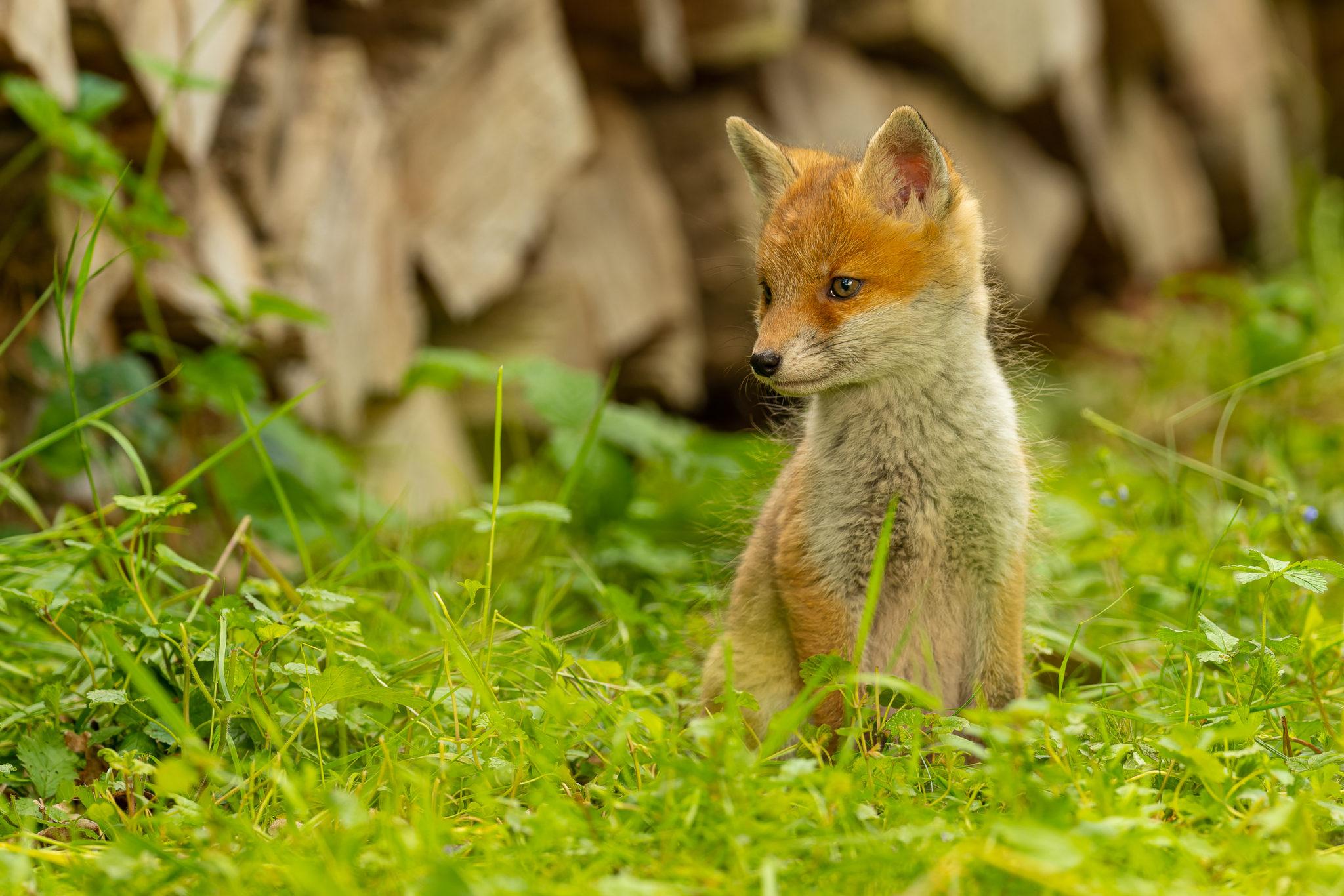 junge Füchse (vulpes vulpes), Naturfotografie Olaf & Sylvia Rentzsch
