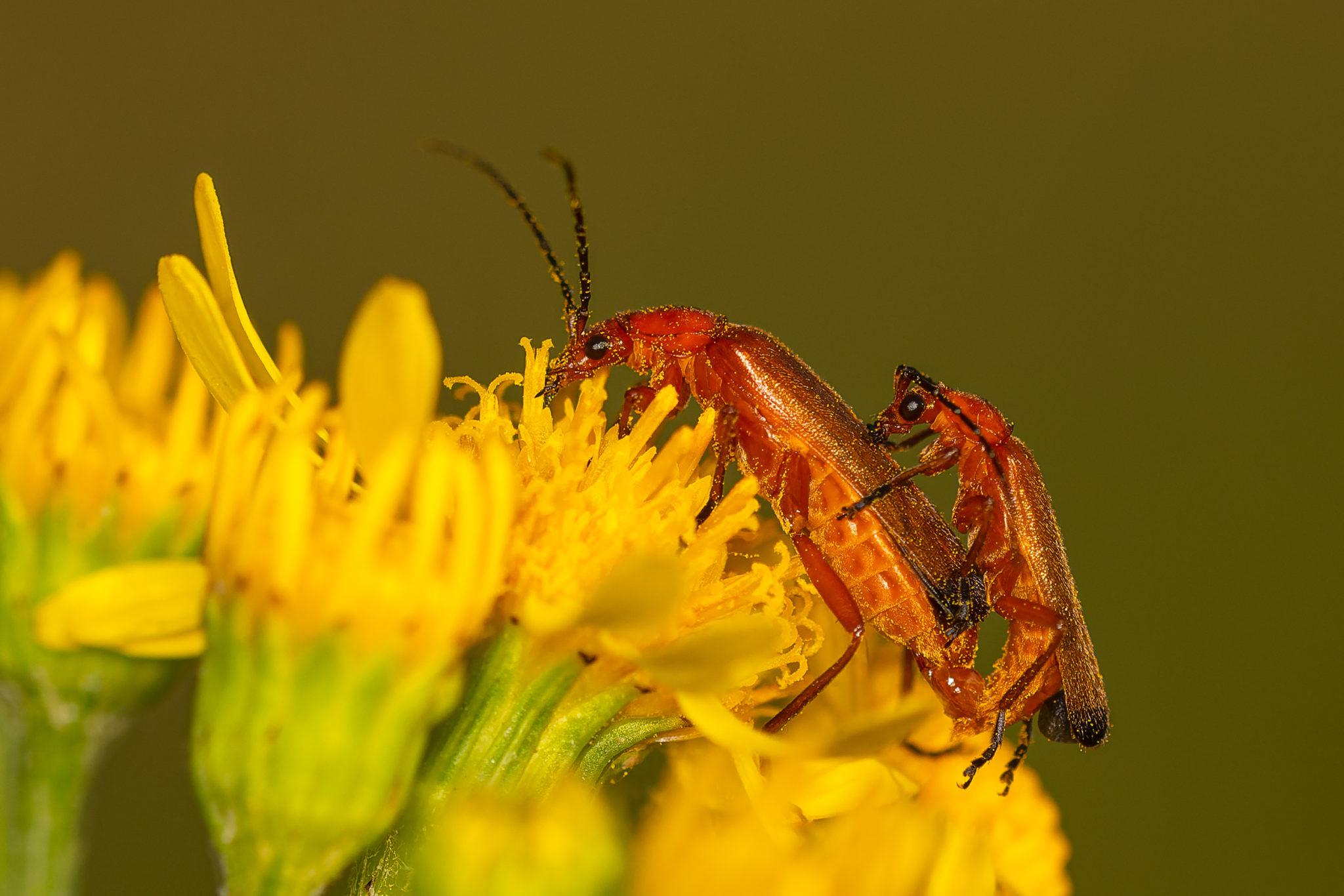 Rote oder Rotgelbe Weichkäfer (Rhagonycha fulva) , Naturfotografie Olaf & Sylvia Rentzsch