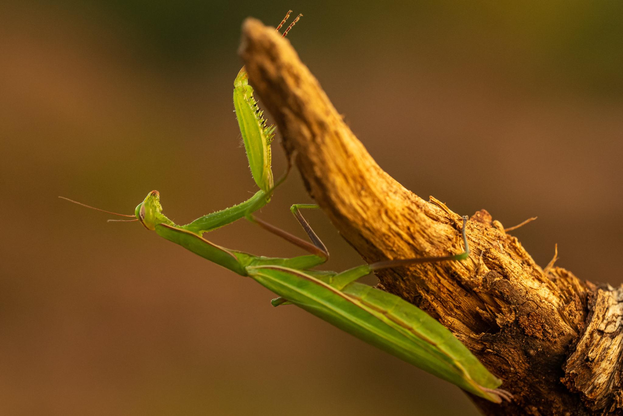Europäische Gottesanbeterin (Mantis religiosa), Naturfotografie Sylvia & Olaf Rentzsch