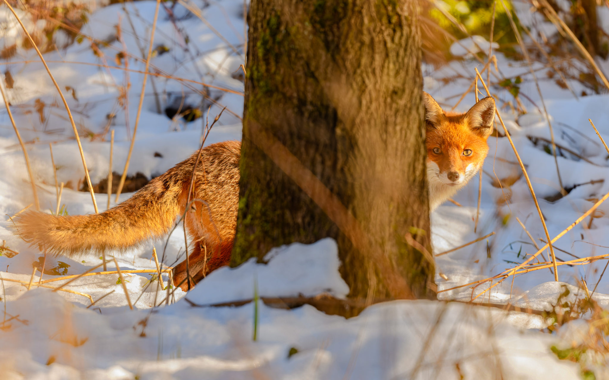 Rotfuchs (Vulpes vulpes), Naturfotografie Olaf & Sylvia Rentzsch