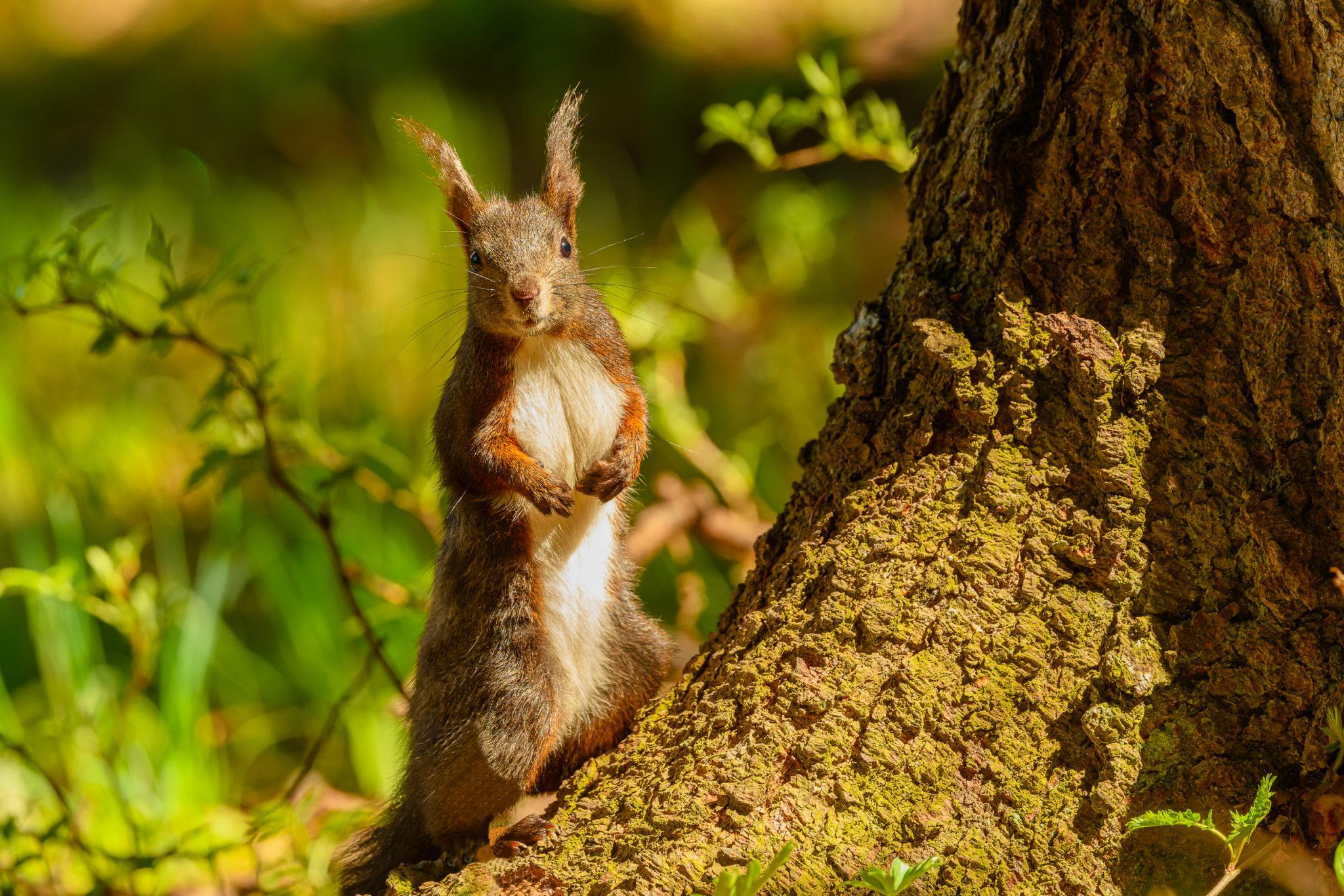 Eurasische Eichhörnchen (Sciurus vulgaris), Naturfotografie Olaf & Sylvia Rentzsch