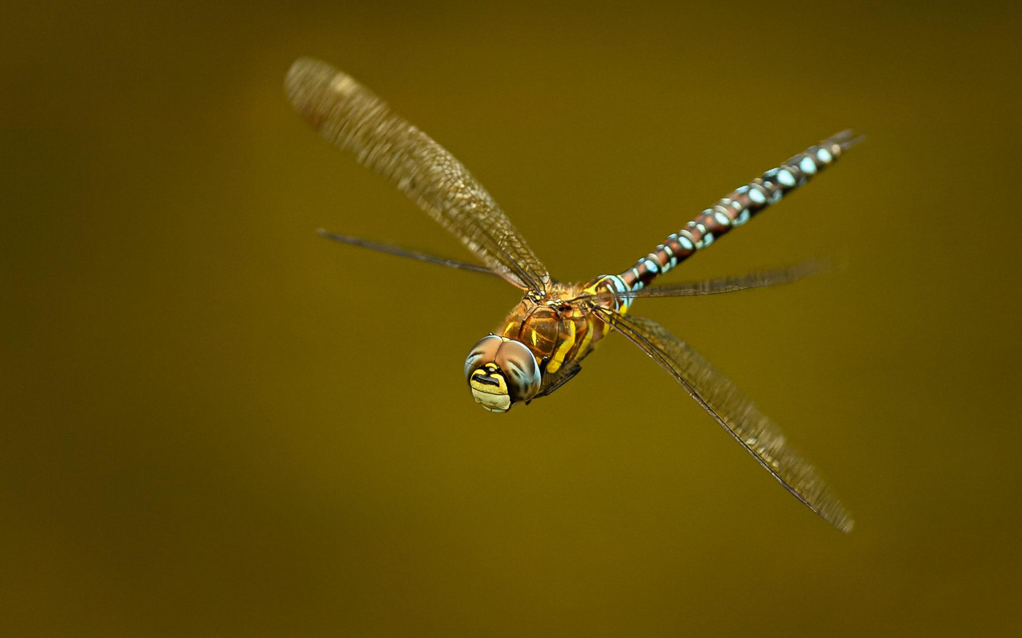 Herbst-Mosaikjungfer (Aeshna mixta) im Flug, Naturfotografie Sylvia & Olaf Rentzsch