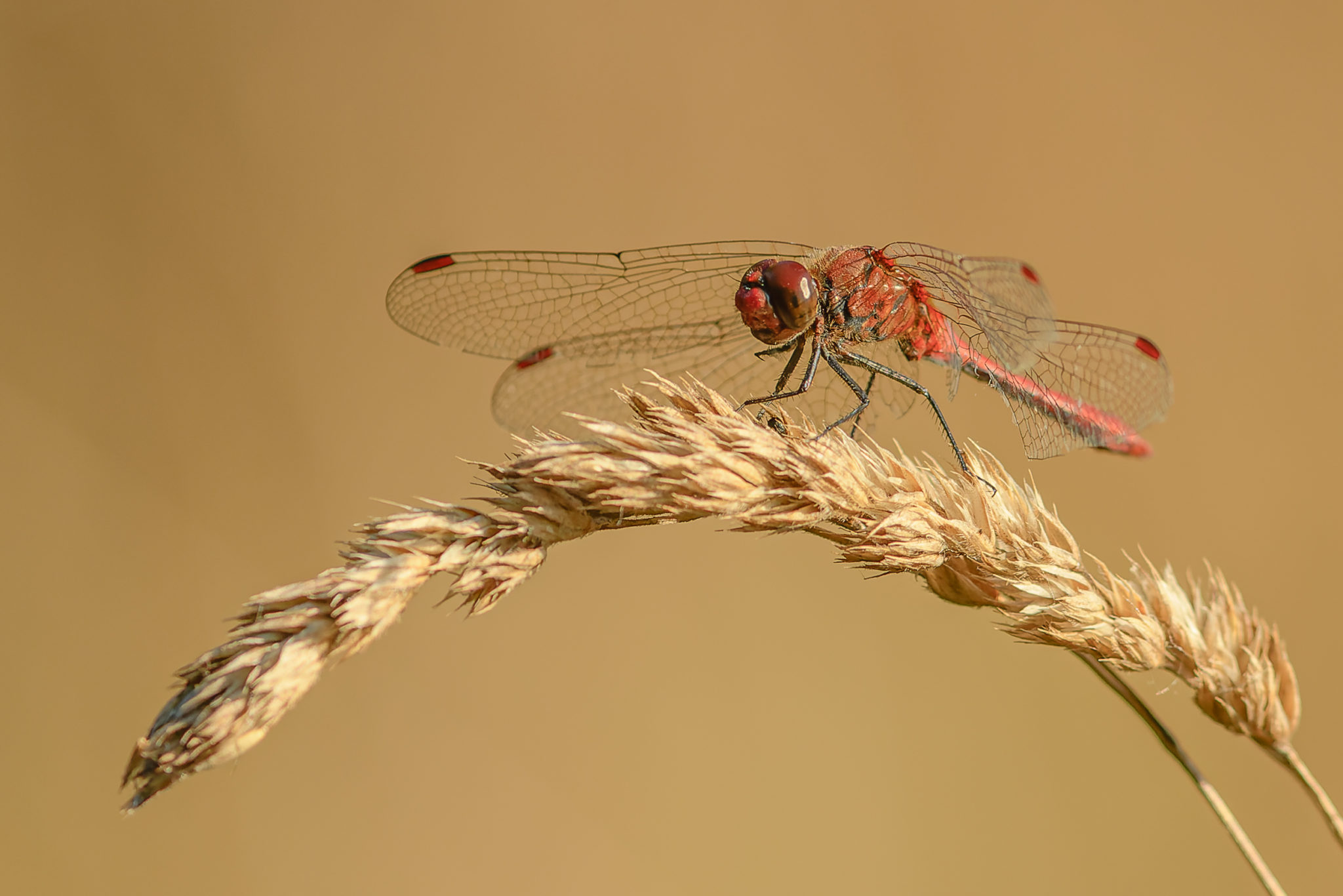 Blutrote Heidelibelle (Sympetrum sanguineum), Naturfotografie Olaf & Sylvia Rentzsch