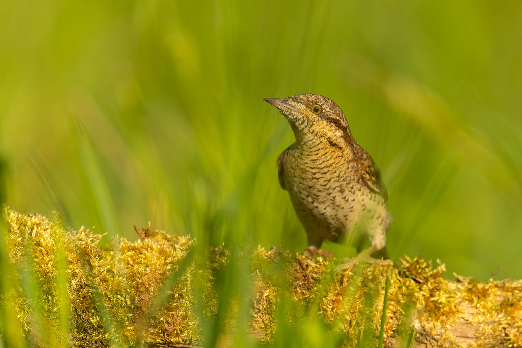 Wendehals (Jynx torquilla), Naturfotografie Olaf & Sylvia Rentzsch