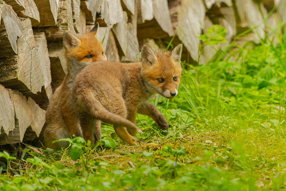 Juveniler Rotfuchs (Vulpes vulpes), Naturfotografie Sylvia & Olaf Rentzsch