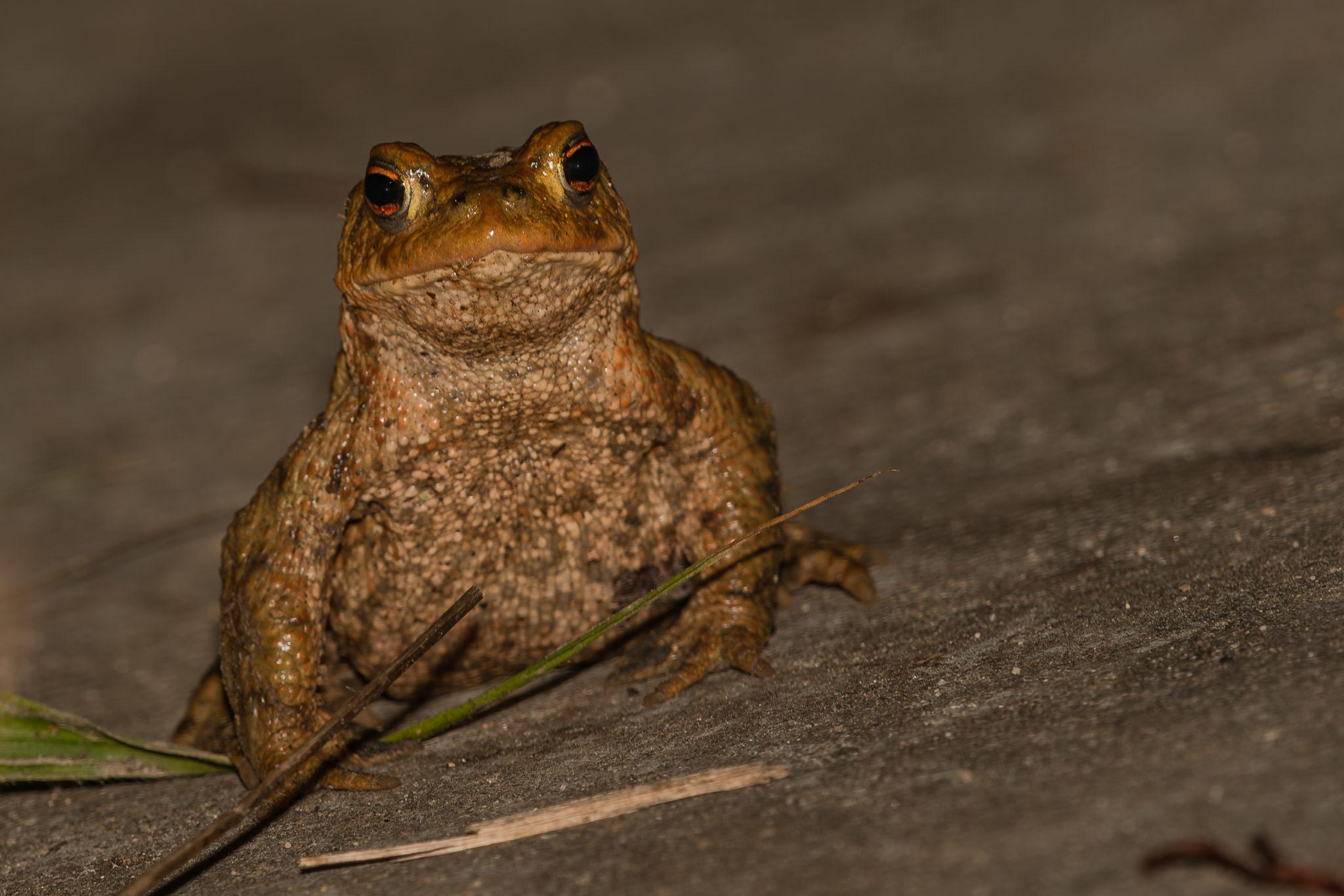 weibliche Erdkröte (Bufo bufo), Naturfotografie Sylvia & Olaf Rentzsch