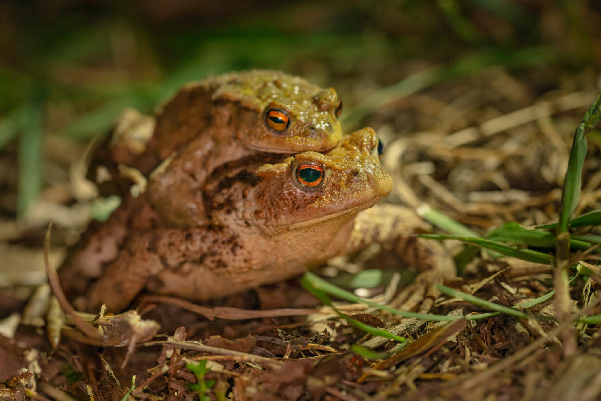 Erdkröten Weibchen mit Männchen auf dem Rücken (Bufo bufo), Naturfotografie Sylvia & Olaf Rentzsch