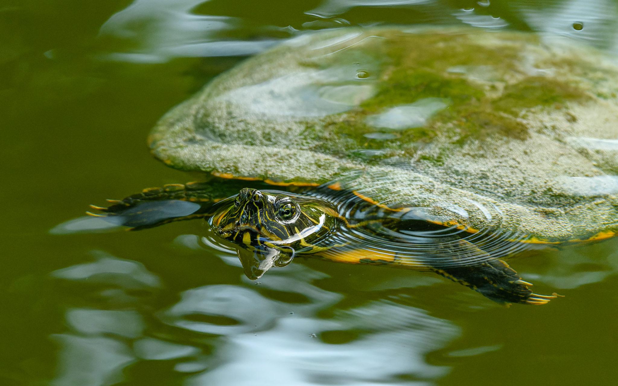 Gelbbauch-Schmuckschildkröte (Trachemys scripta scripta), oder Gelbwangen-Schmuckschildkröte , Naturfotografie Sylvia & Olaf Rentzsch