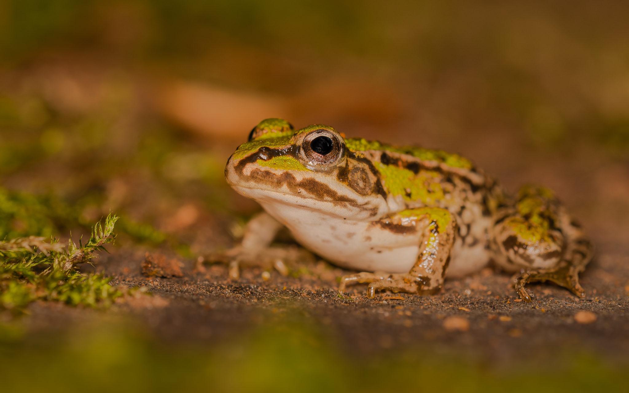 Kleiner Wasserfrosch oder kleiner Teichfrosch (Pelophylax lessonae oder Rana lessonae), Naturfotografie Sylvia & Olaf Rentzsch