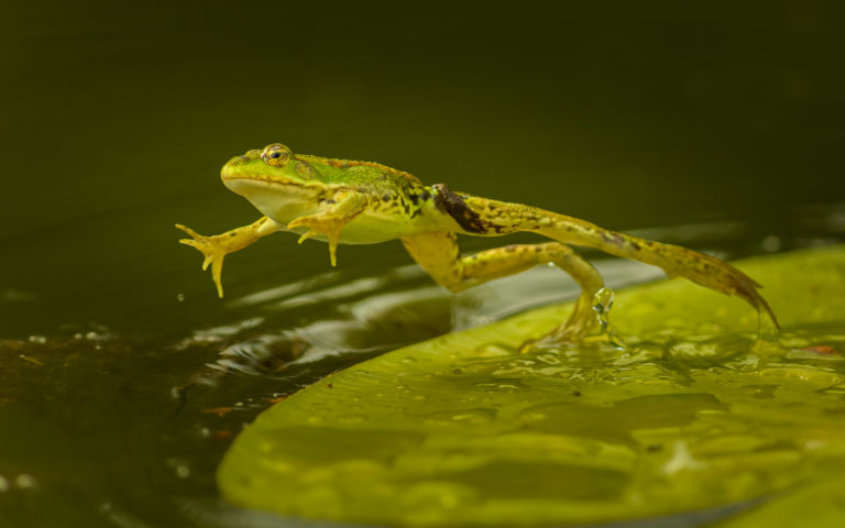 Teichfrosch (Pelophylax), Naturfotografie Sylvia & Olaf Rentzsch