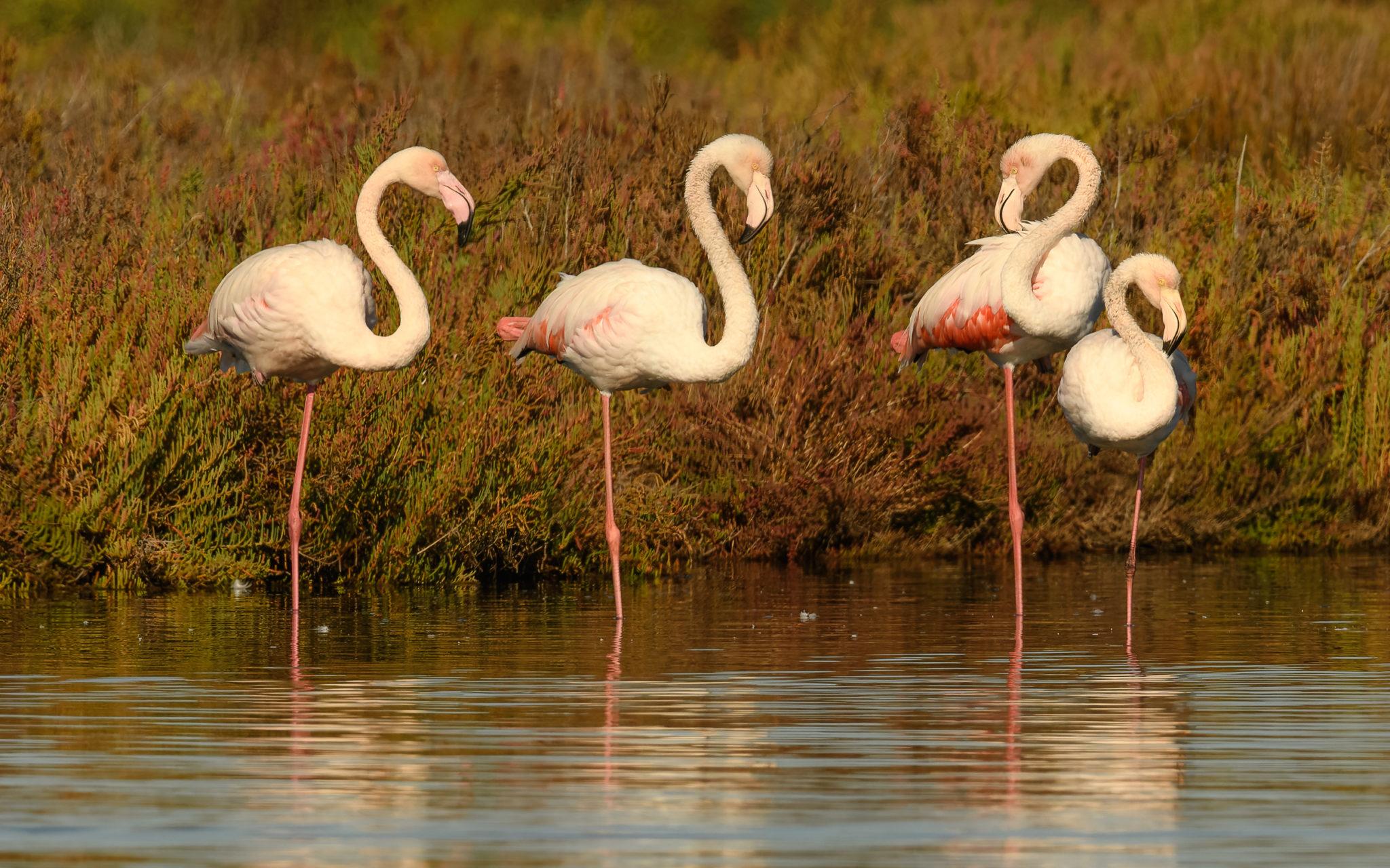 Flamingos (Phoenicopteridae), Portugal, Algarbe, Naturfotografie Sylvia & Olaf Rentzsch